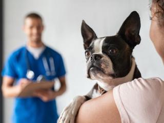 VET_pes-bostonsky_terier_veterinar
