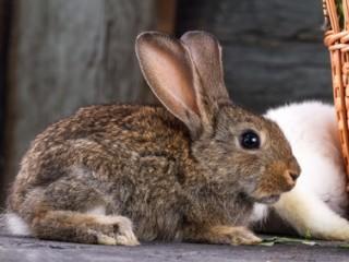 malý hnědý králík, malá zvířata,