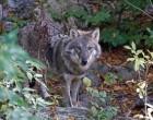 vlk obecný,  canis lupus