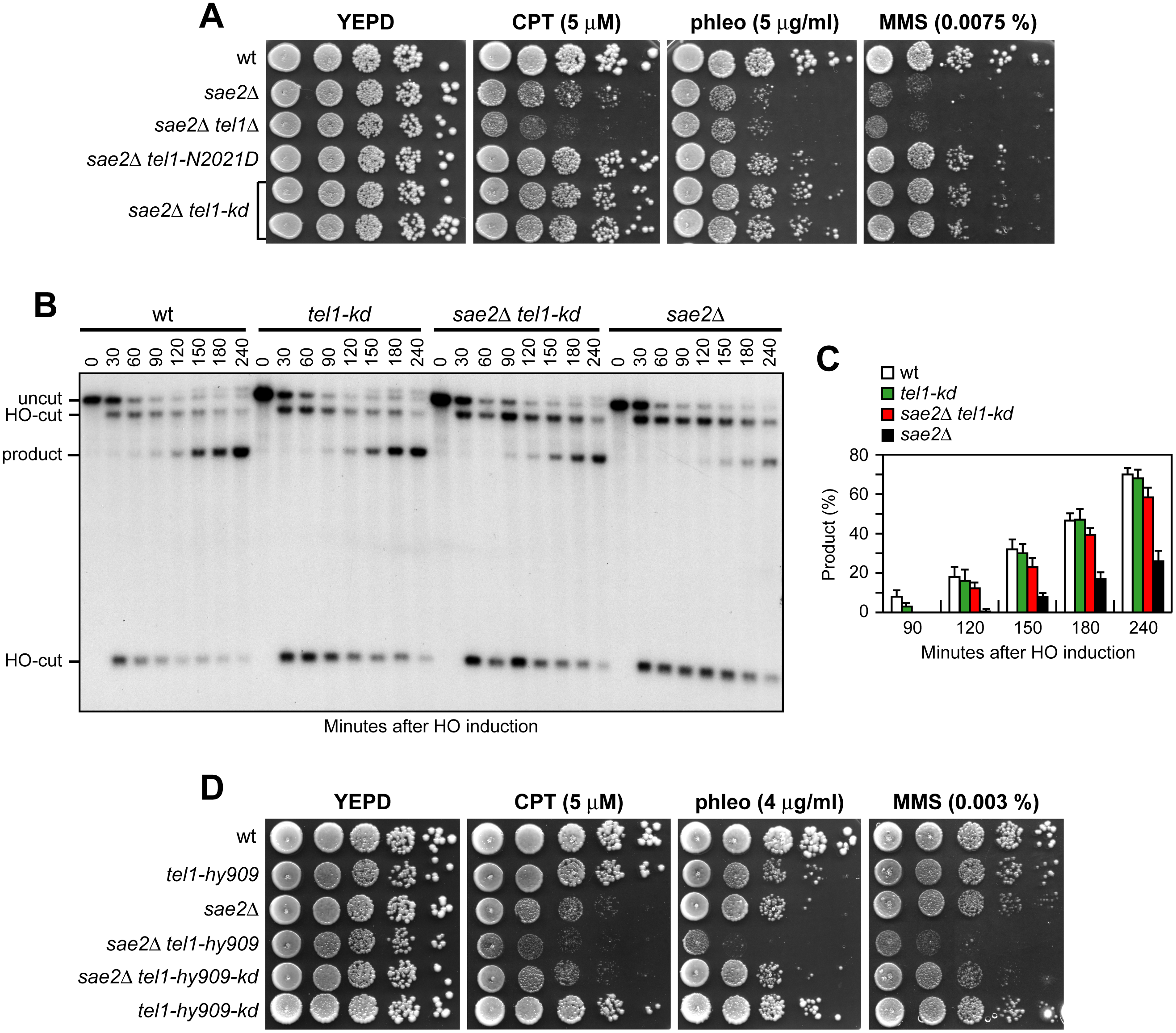 The Tel1-kd variant restores DNA damage resistance and SSA in <i>sae2</i>Δ cells.