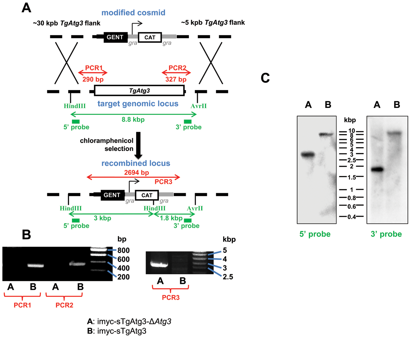 Generation of a <i>TgAtg3</i> conditional knock out mutant.