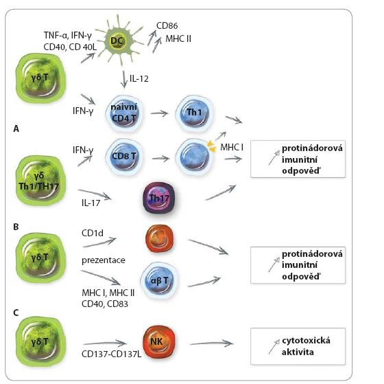 Mechanizmy protinádorové imunitní odpovědi prostřednictvím γδ T lymfocytů.