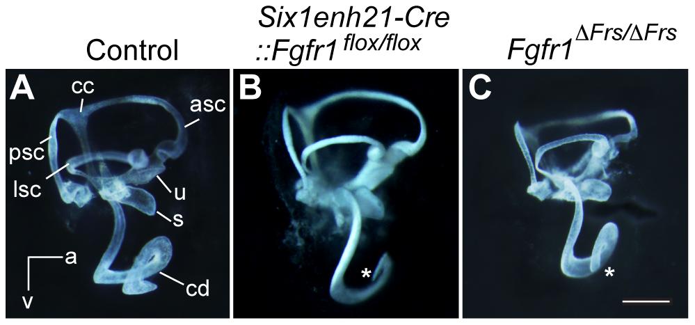 Inner ear development is disrupted in <i>Fgfr1</i> mutants.