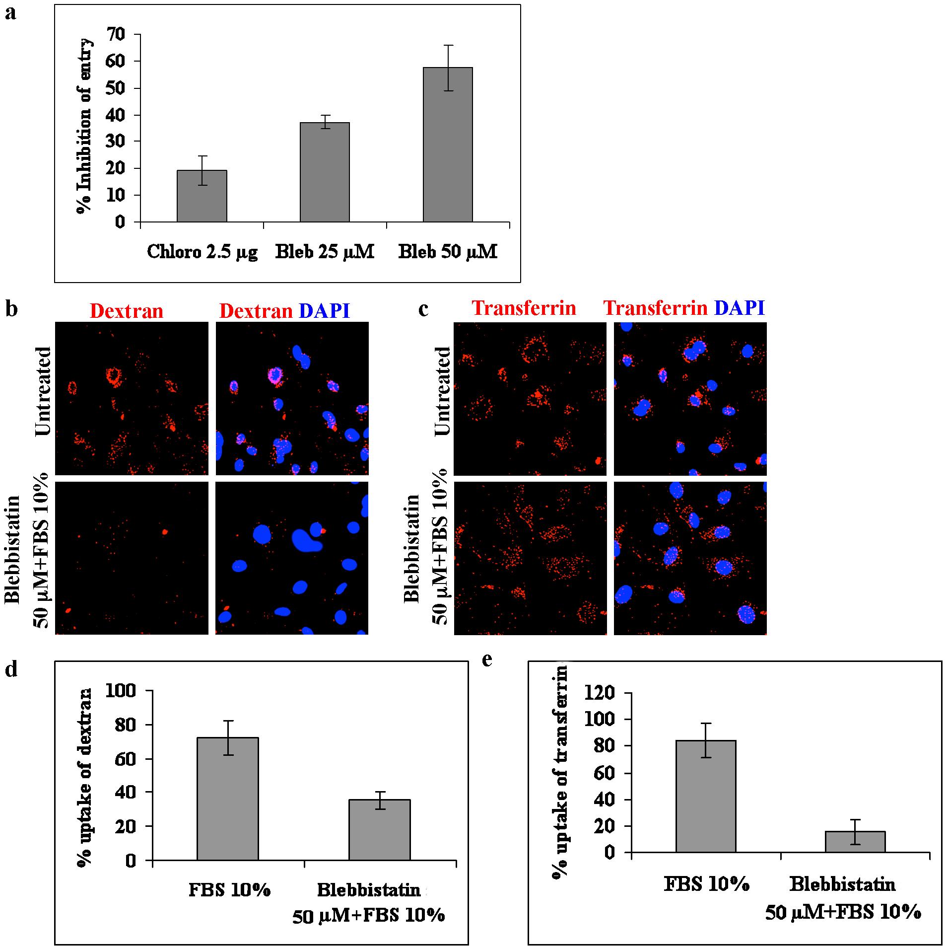 Blebbistatin inhibits macropinocytosis of KSHV.