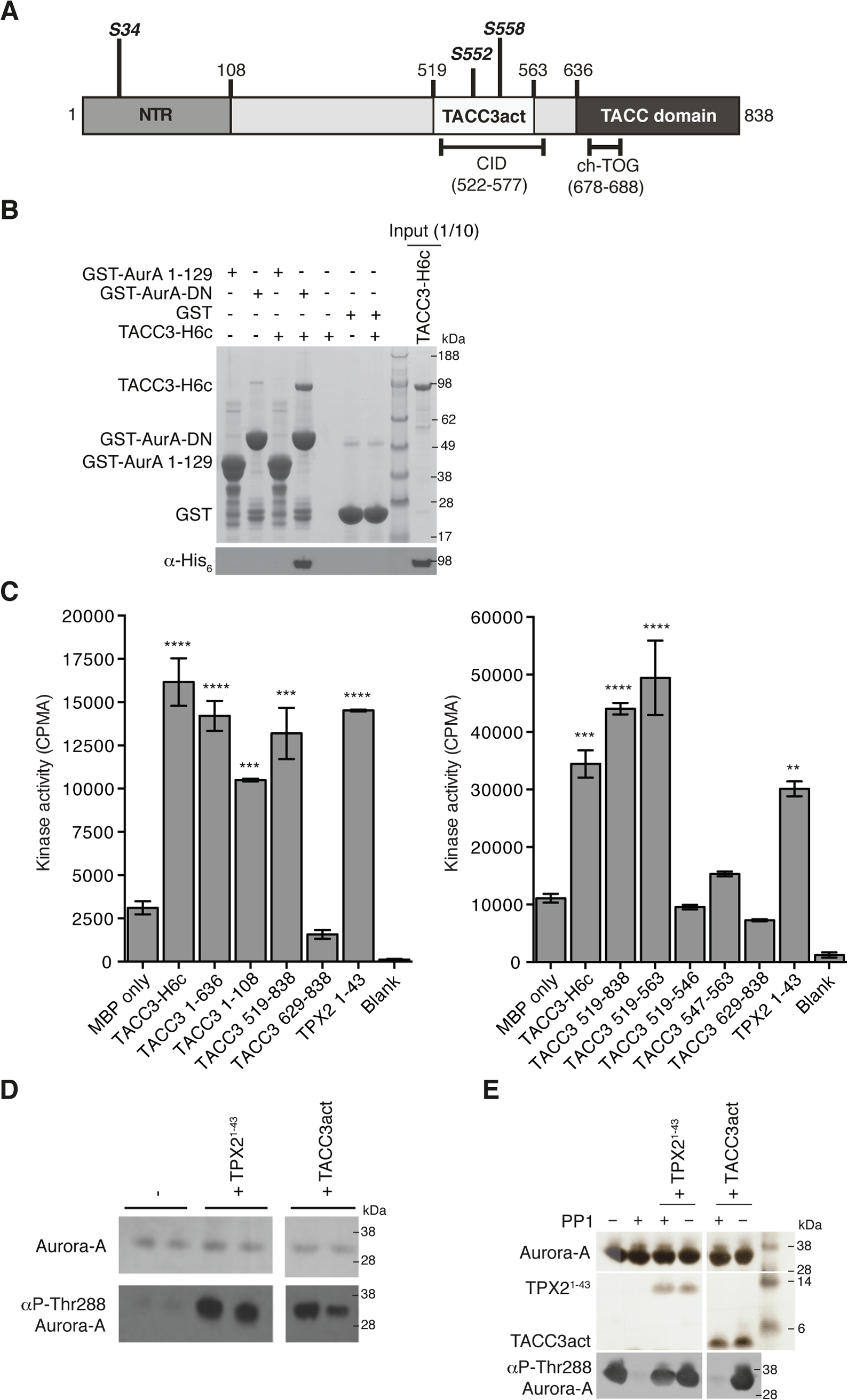 Biochemical characterisation of Aurora-A activation by TACC3.