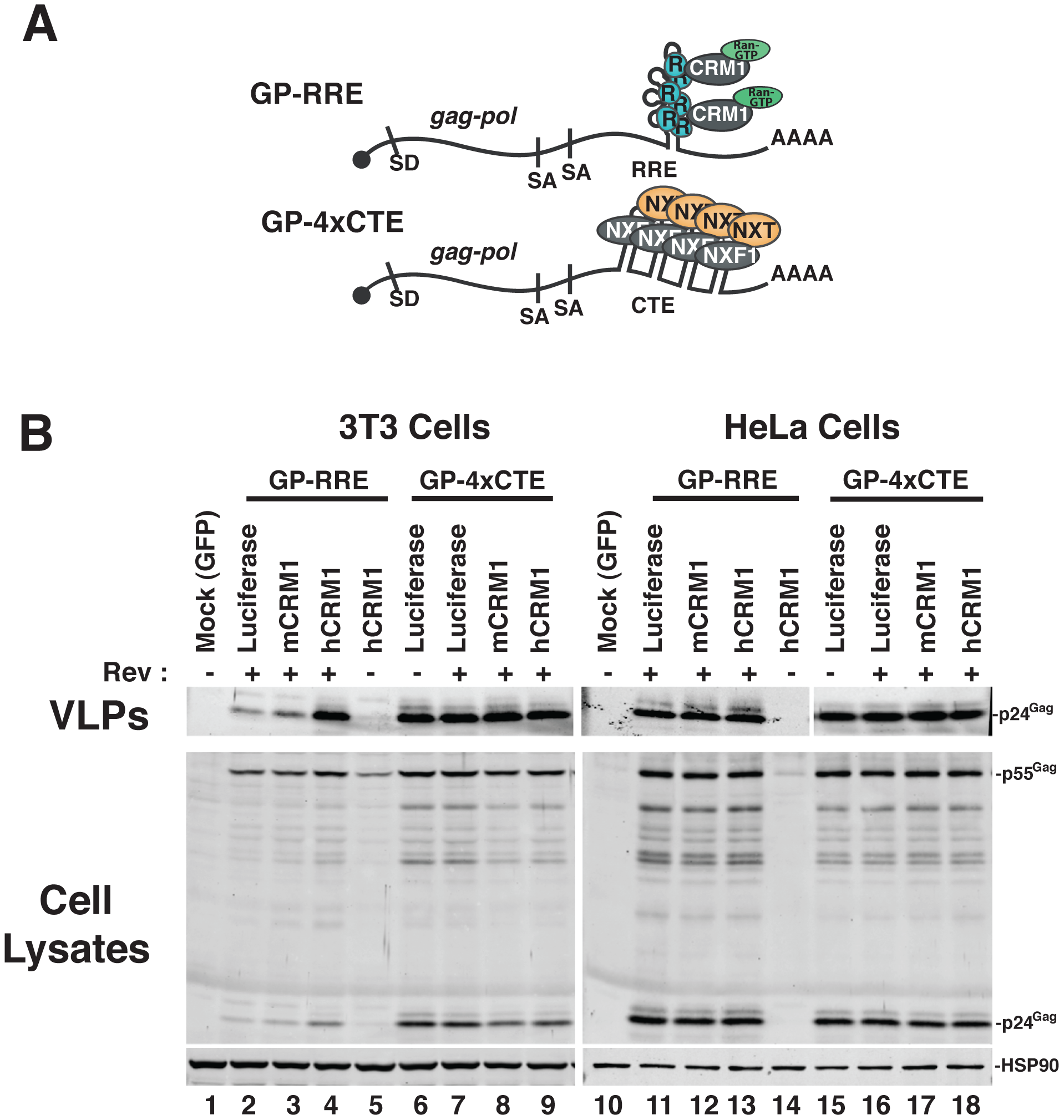 hCRM1 expression promotes HIV-1 VLP production in mouse cells.