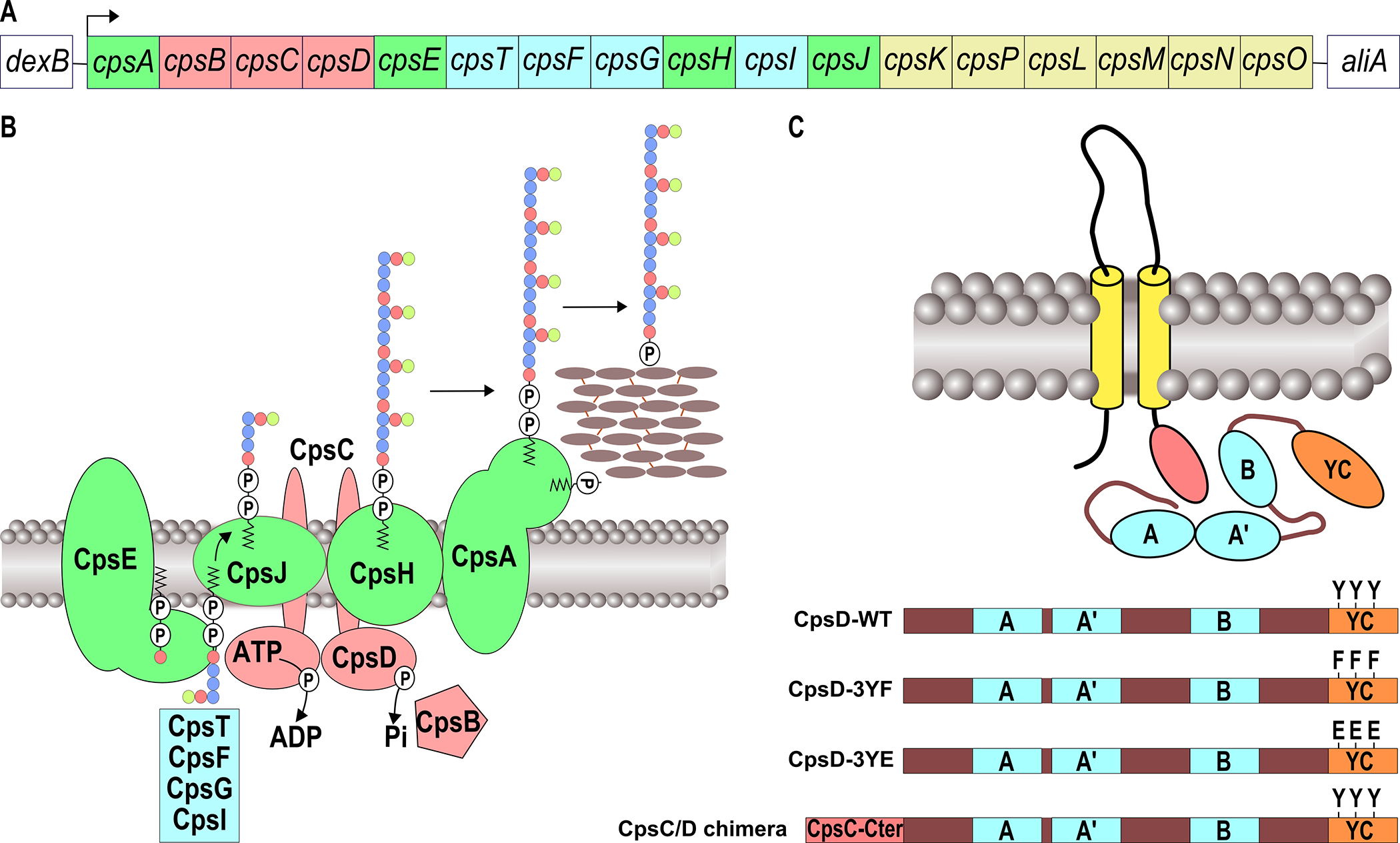 Schematic organization of the pneumococcal CPS machinery and BY-kinase.
