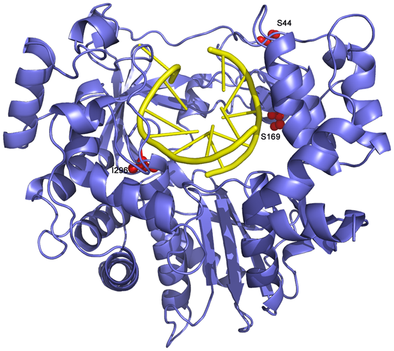 Ribbon diagram of the structure of FMDV 3D polymerase, SSI mutant, in complex with the RNA template-primer.