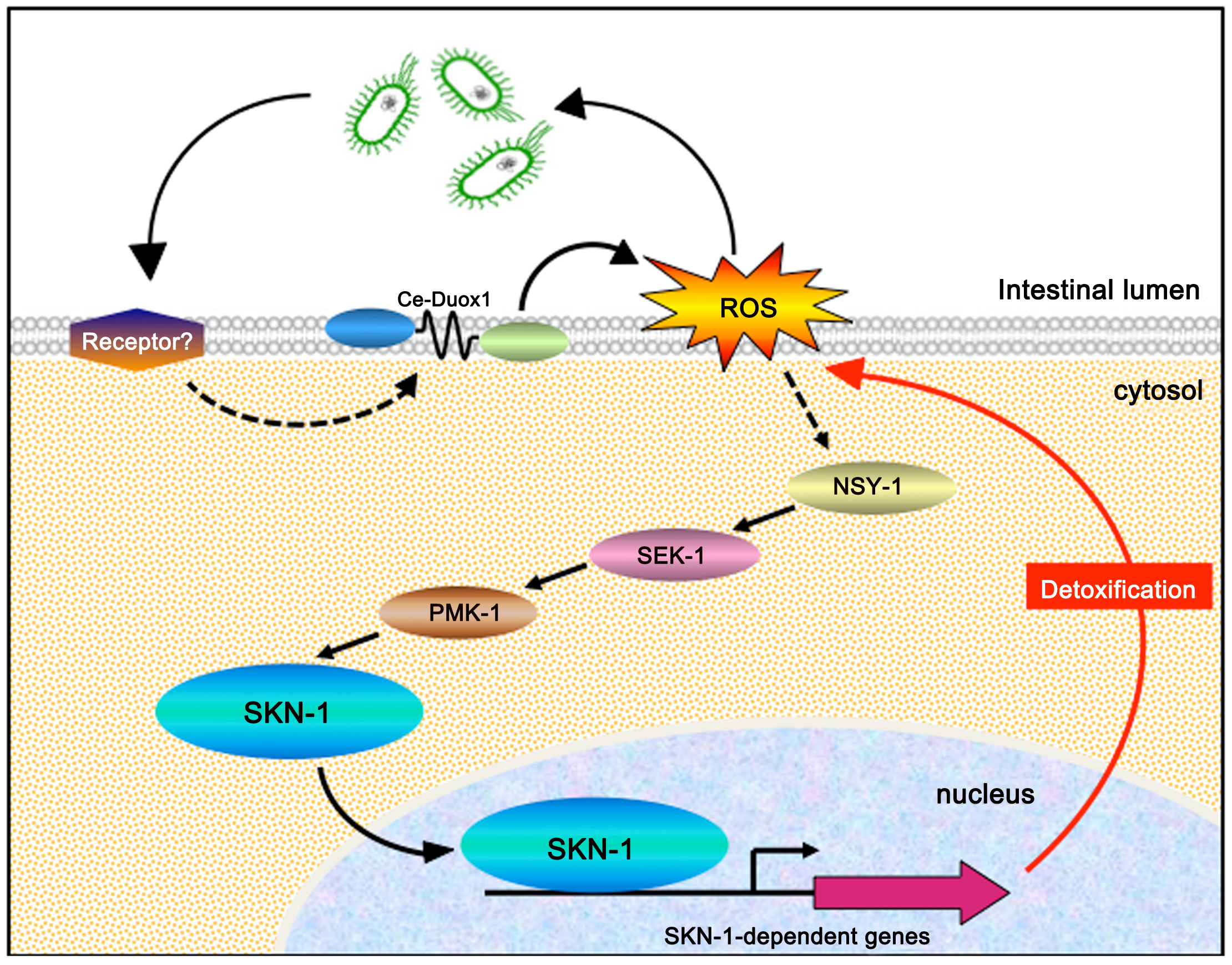 Proposed model for SKN-1 activation during infection.