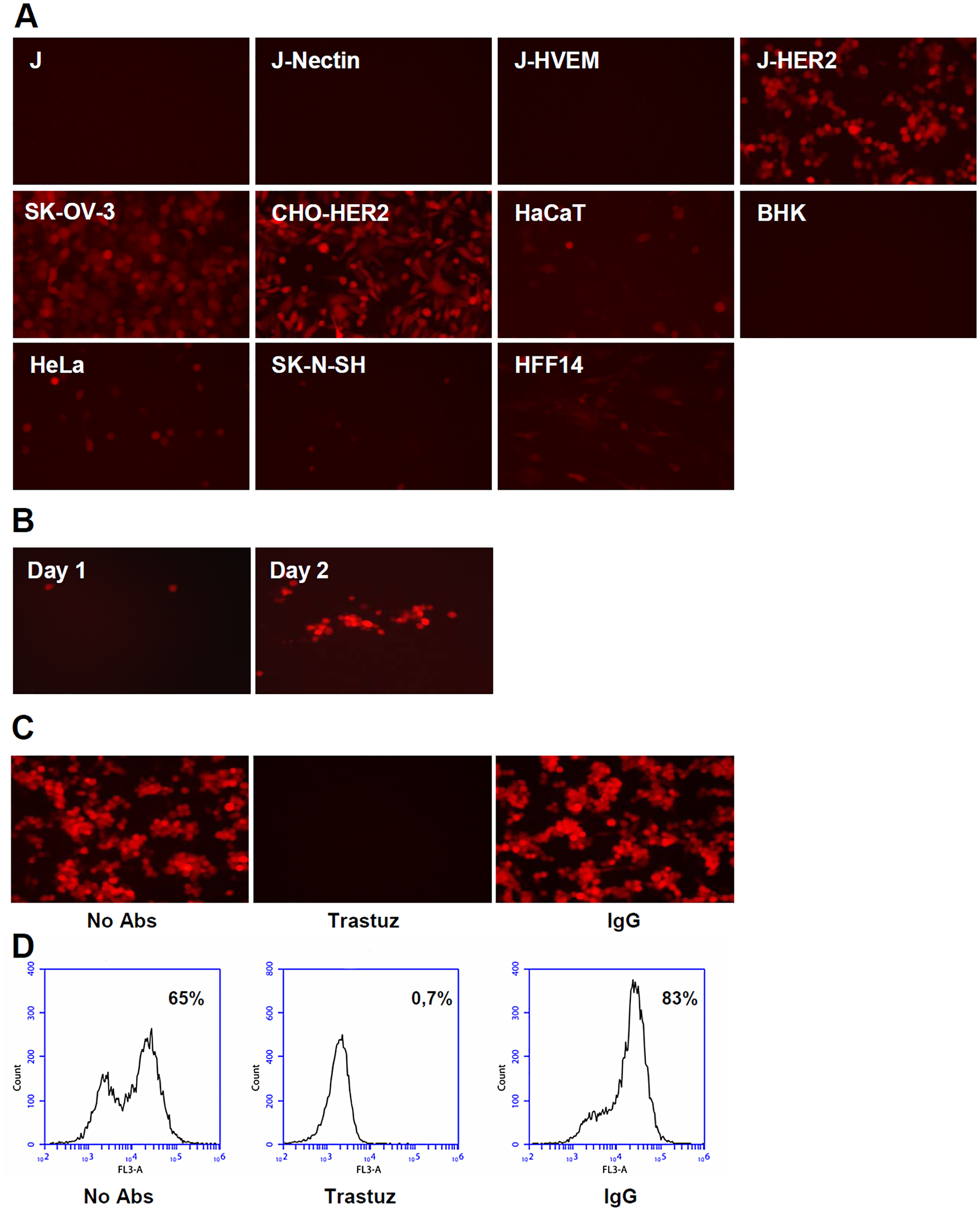 R-VG809 infects cells that express HER2, fails to infect cells <i>via</i> gD receptors, and progeny virus spreads in J-HER2 cells.