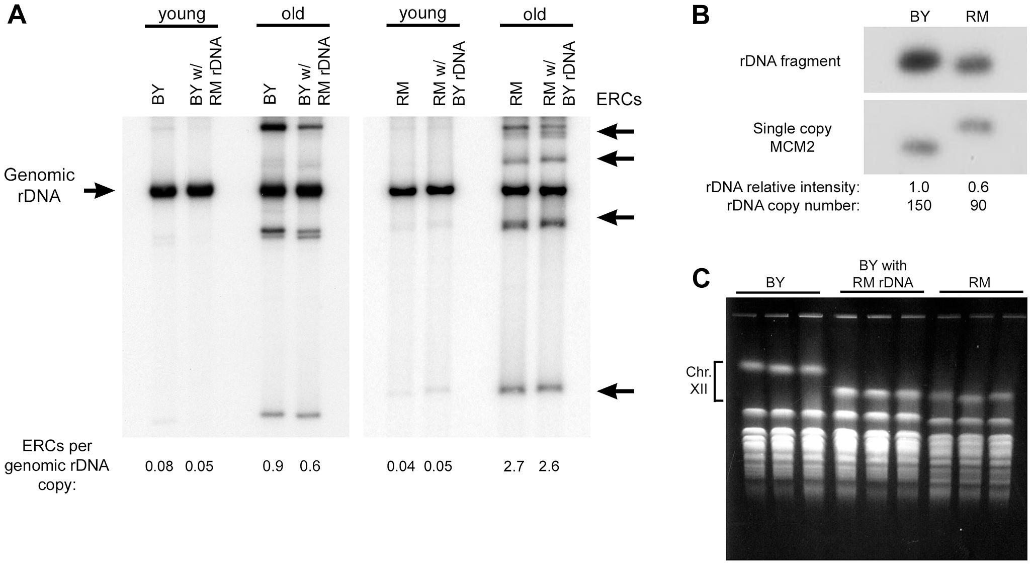ERC abundance and rDNA copy number.