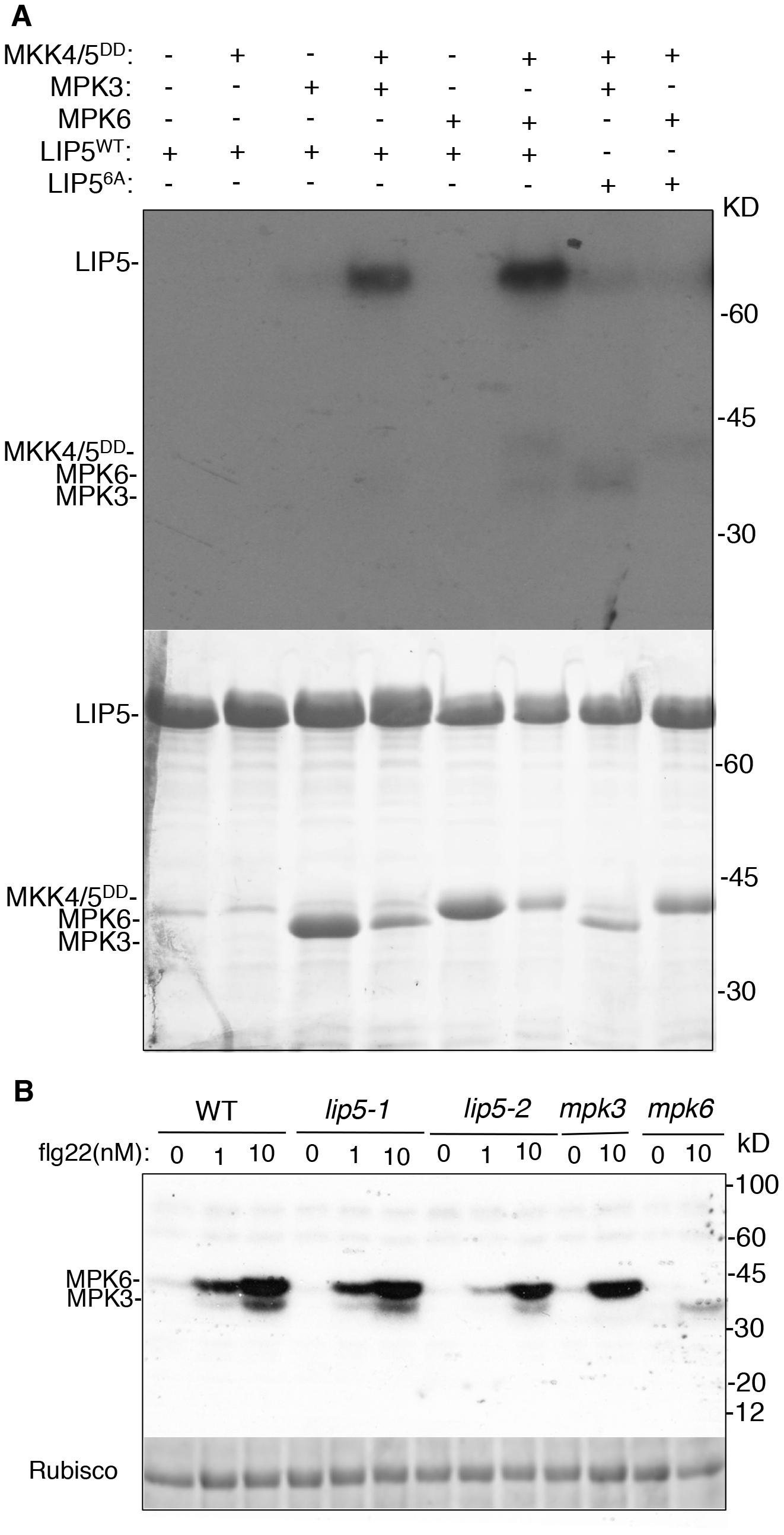 <i>In vitro</i> phosphorylation of LIP5 by MPK6 and MPK3.