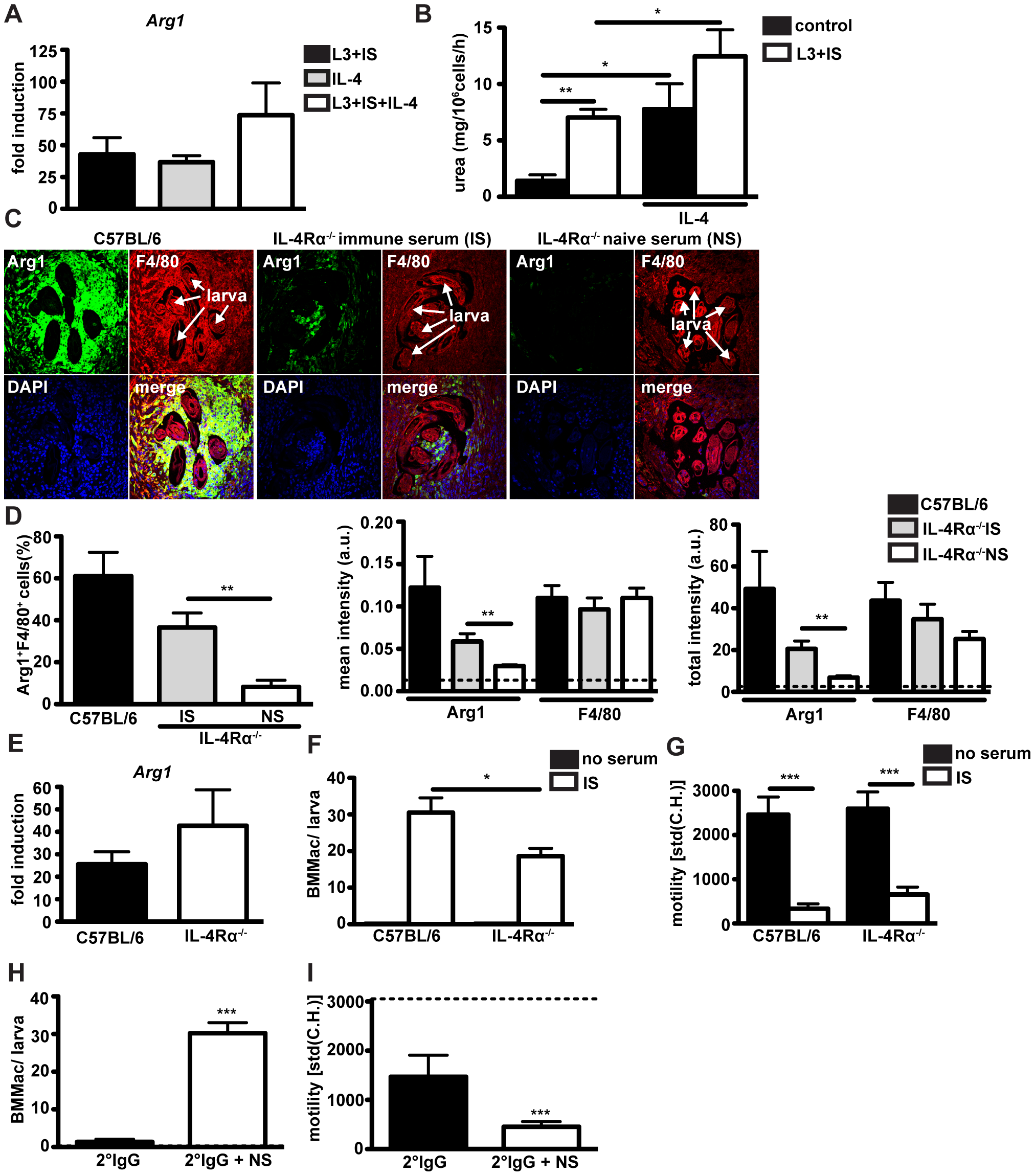 Antibodies can induce Arg1 and larval trapping by macrophages independently of IL-4Ralpha signaling.