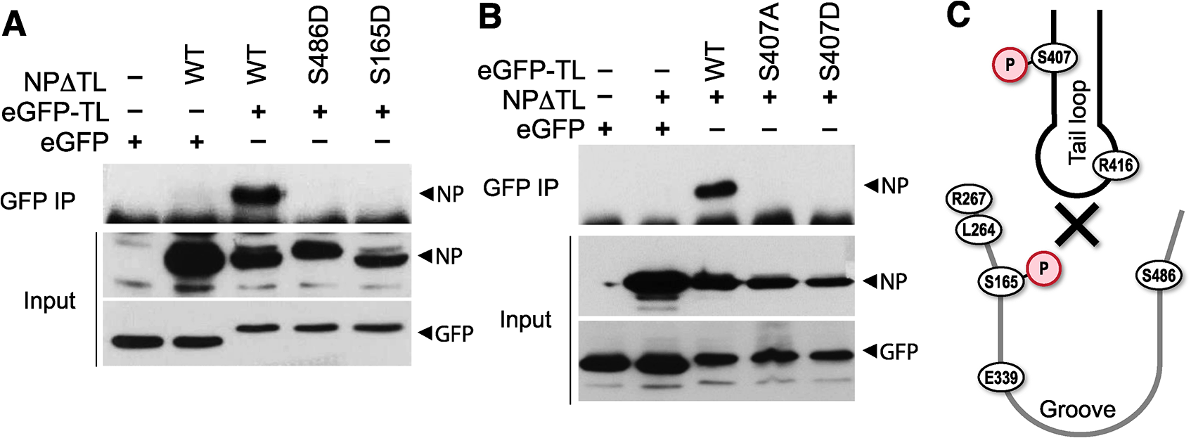 Phosphorylation of the tail loop and binding groove maintains monomeric NP.