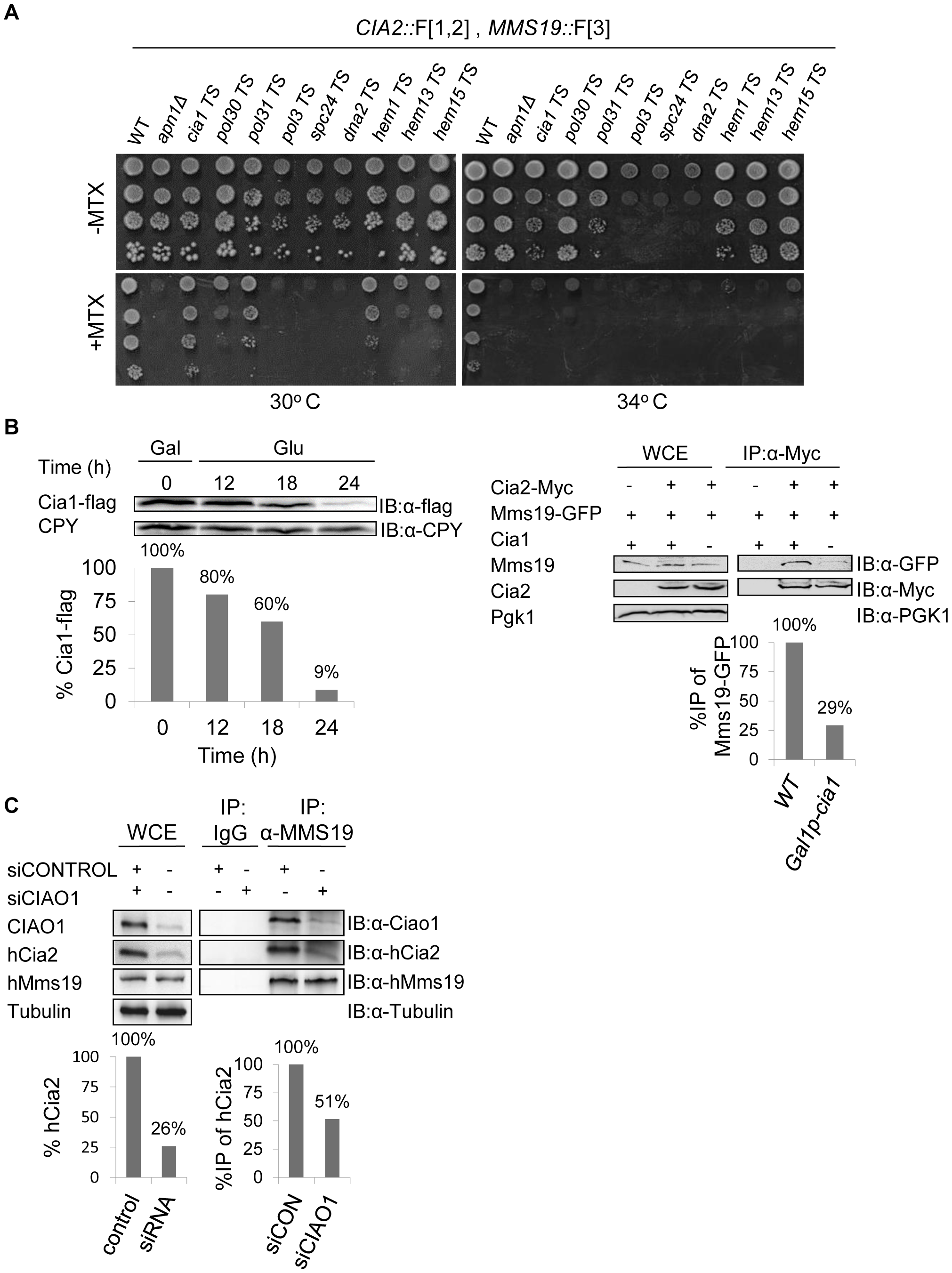 (A) Retesting of mutants for impaired growth on MTX-containing medium.