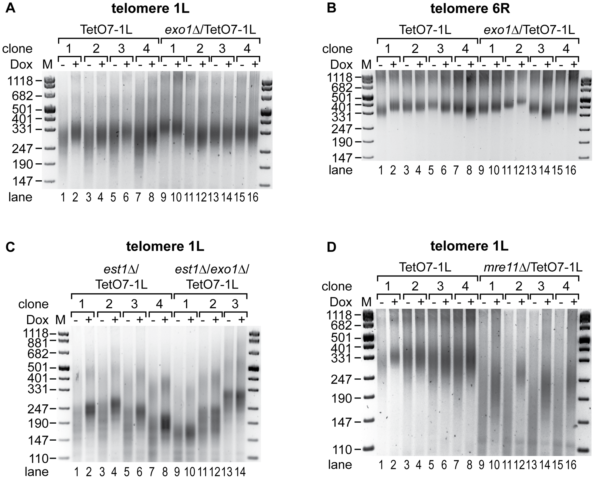 Exo1 mediates shortening of telomere 1L upon 1L TERRA expression, while Mre11 is not involved.
