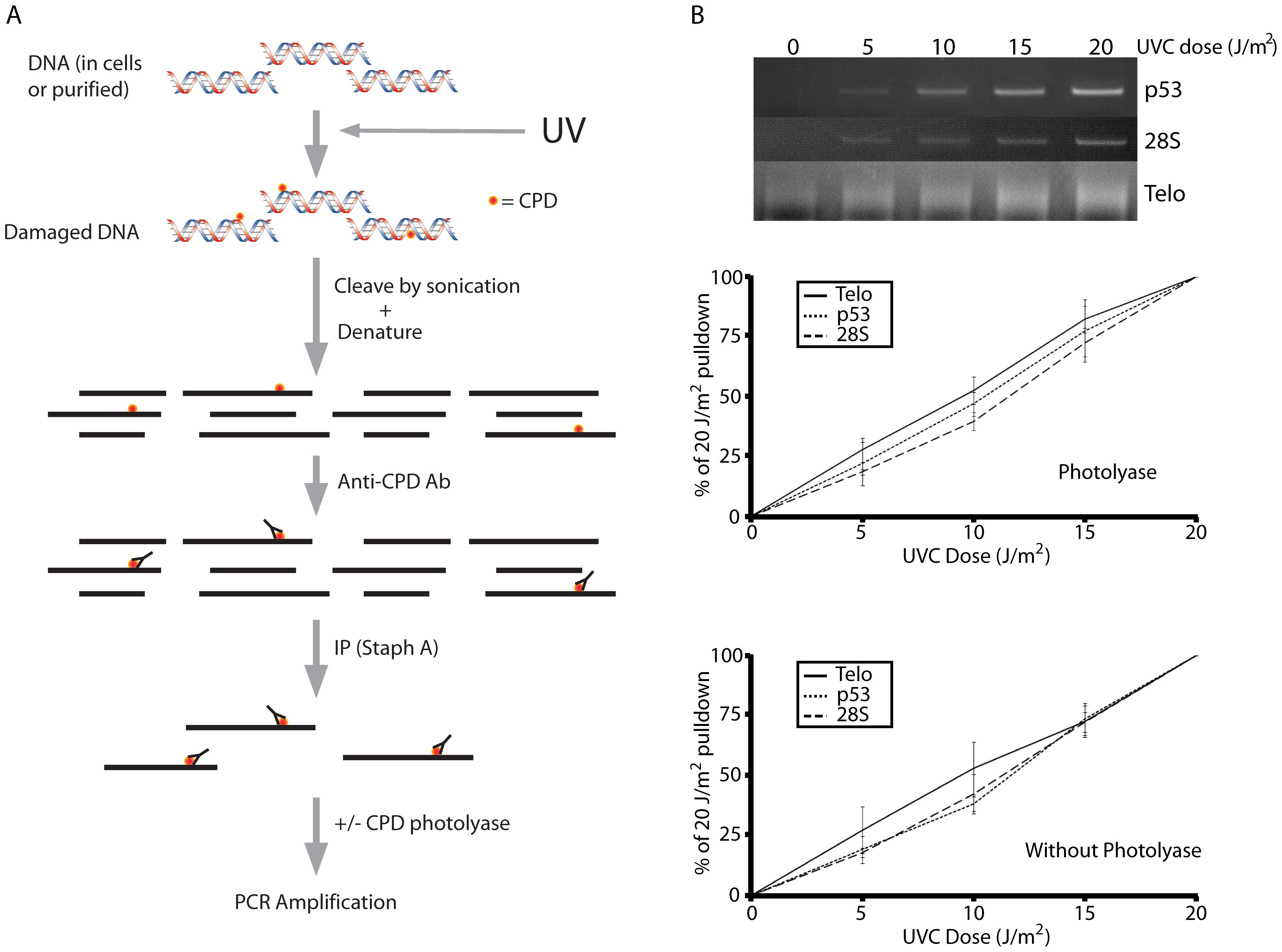 The ImmunoPrecipitation of DNA Damage technique (IPoD).