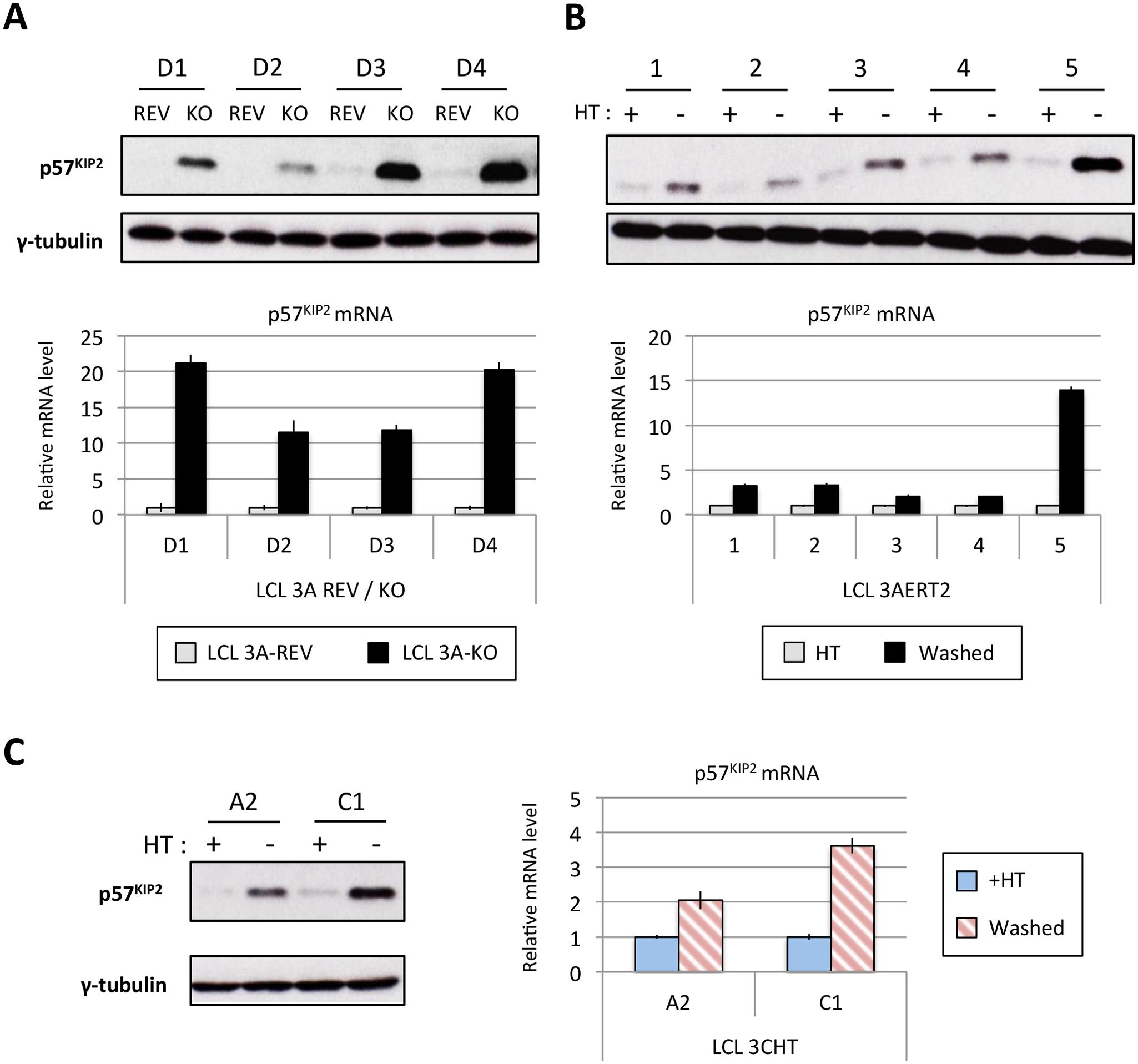 EBNA3A and EBNA3C regulate p57<sup>KIP2</sup> expression.