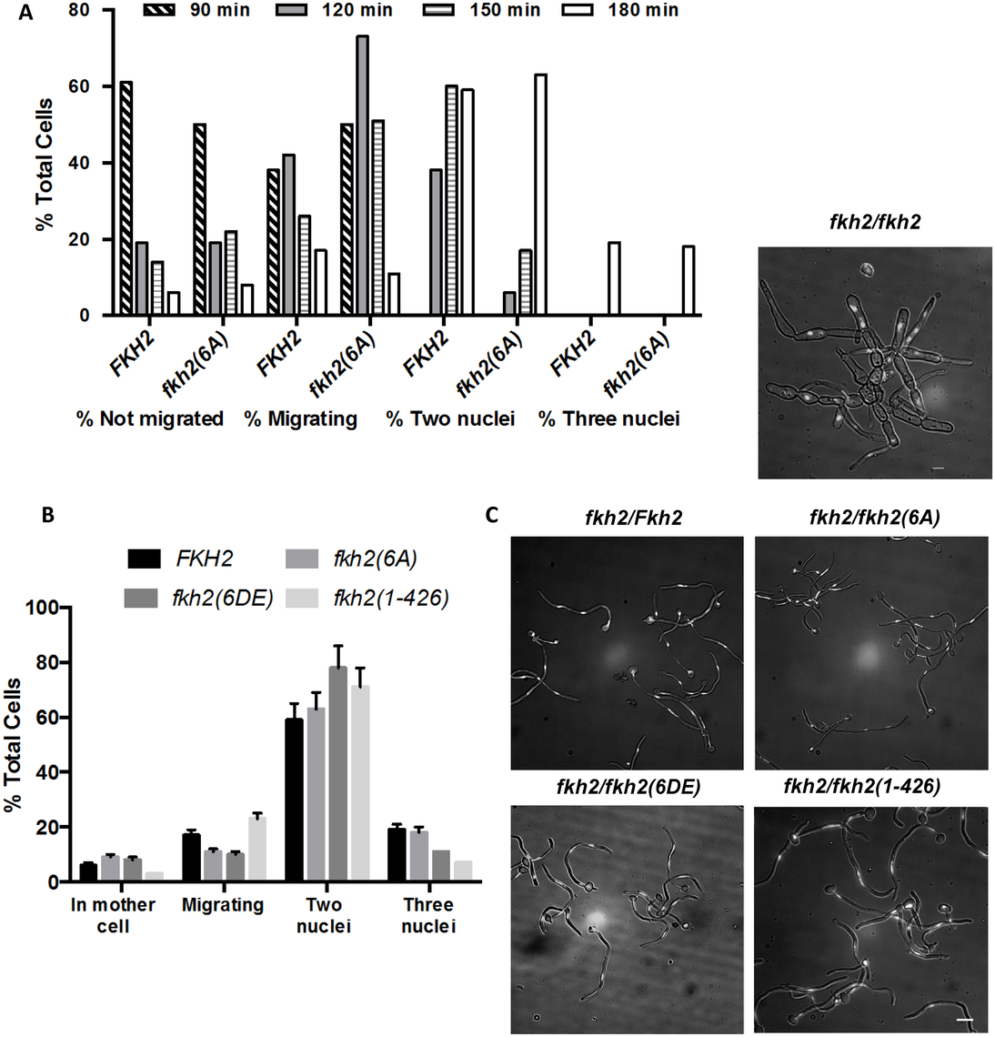 The effect of C-terminal deletion or phosphosite mutations on cell cycle progress during hyphal growth.