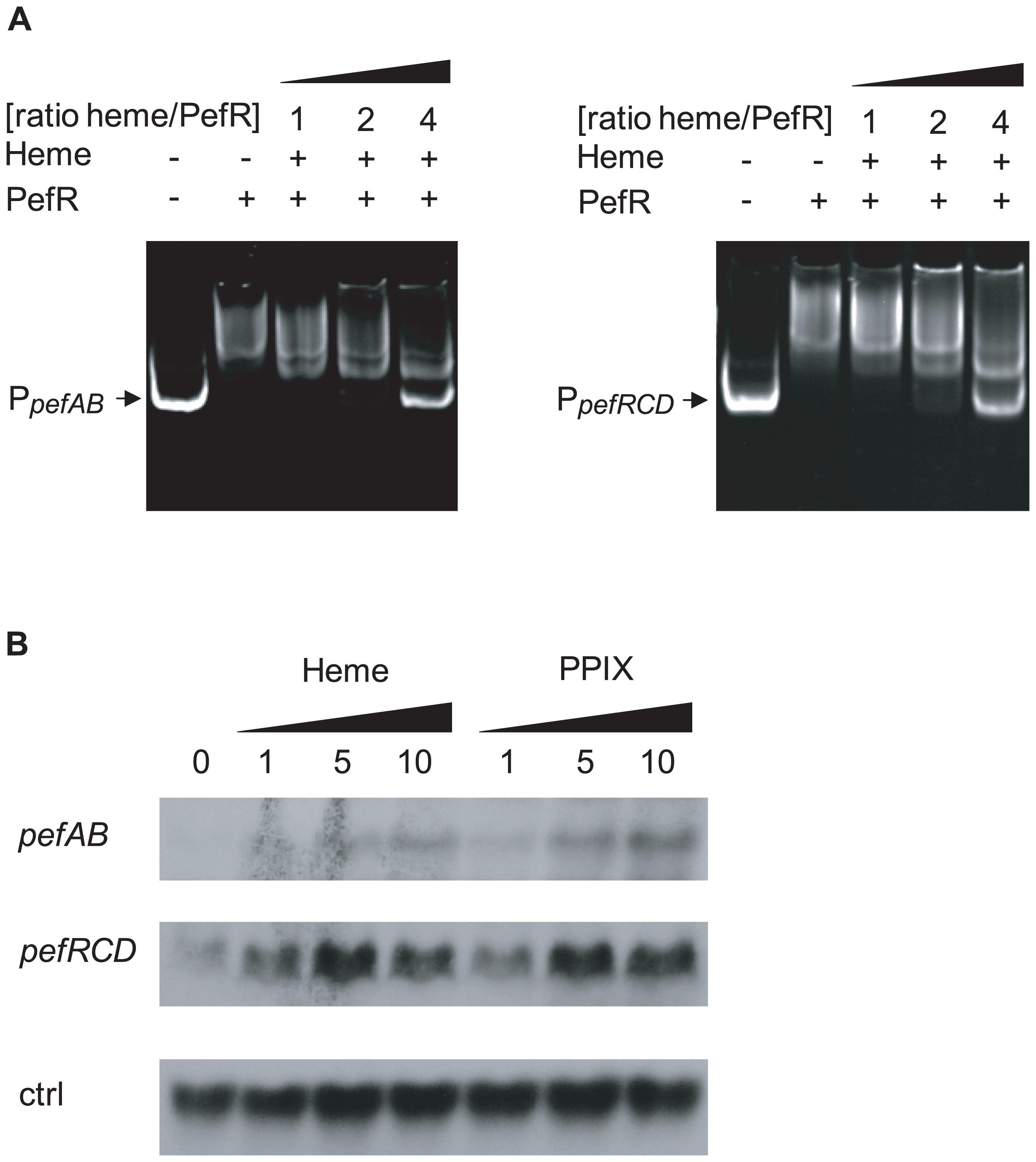 PefR is a heme- and PPIX-modulated repressor of <i>pefAB</i> and <i>pefRCD</i> loci.
