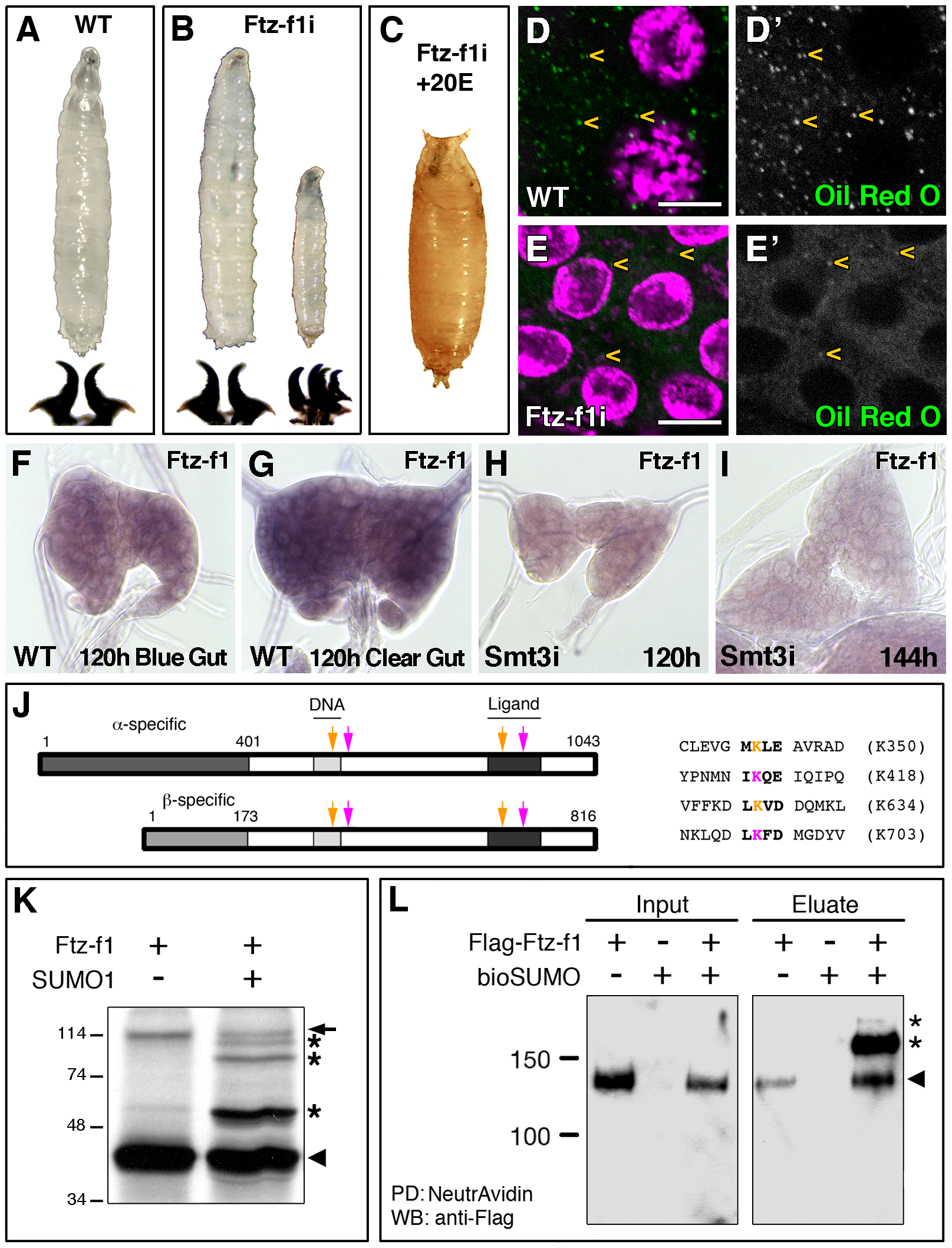 Ftz-f1 is required for pupariation and lipid uptake and is modified by SUMOylation <i>in vivo</i> and <i>in vitro</i>.