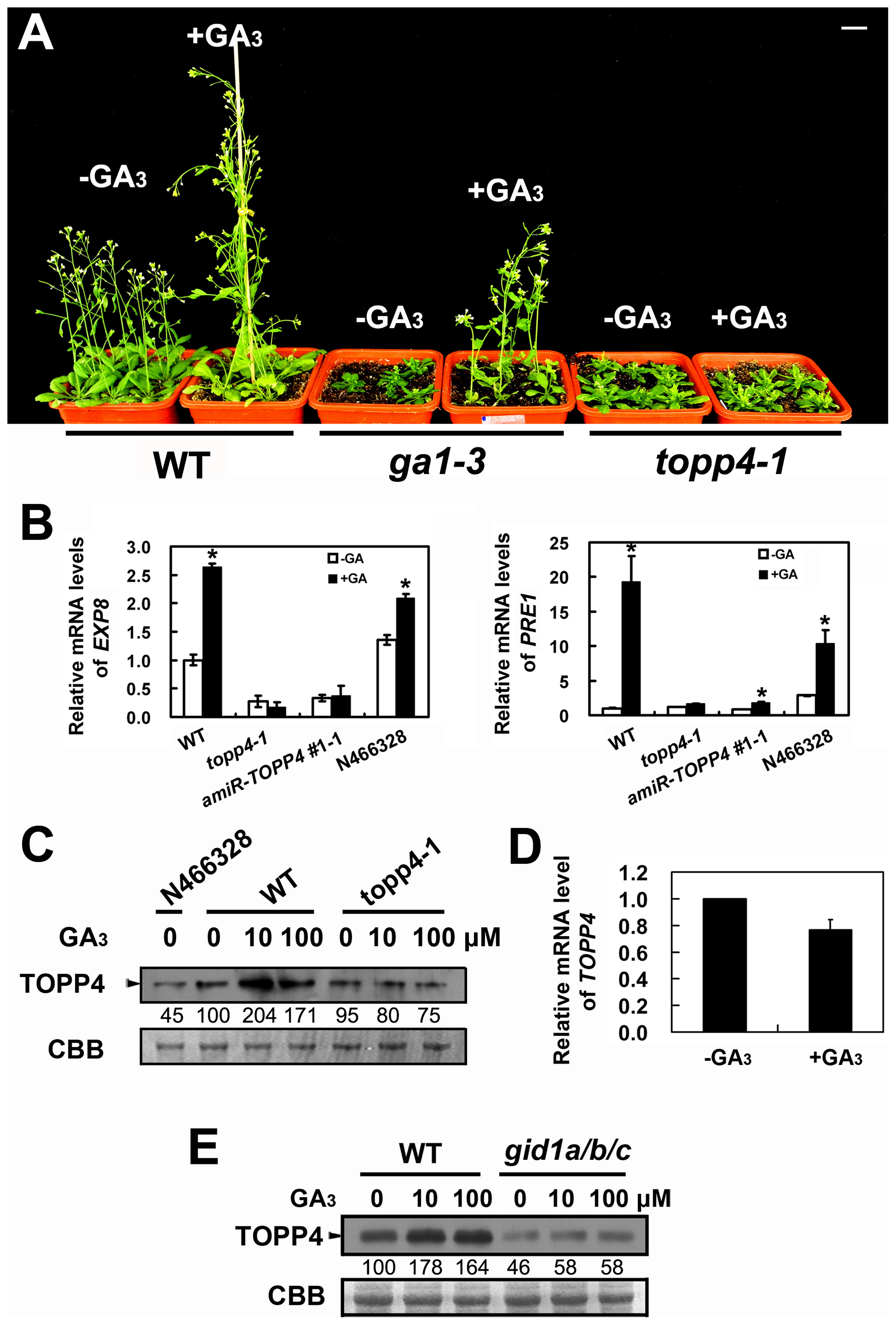 <i>topp4-1</i> is insensitive to exogenously applied GA<sub>3</sub>, and GA enhances the TOPP4 protein level through a GA-GID1 pathway.