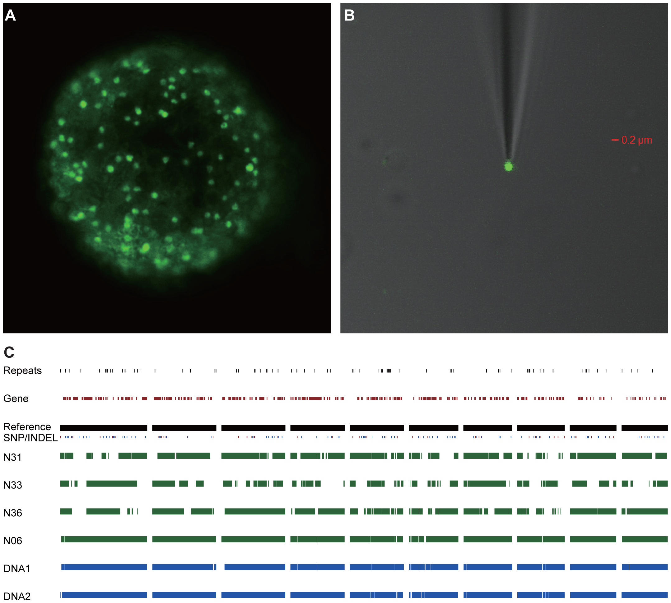 Genome sequence of single <i>R. irregularis</i> DAOM197198w nuclei.