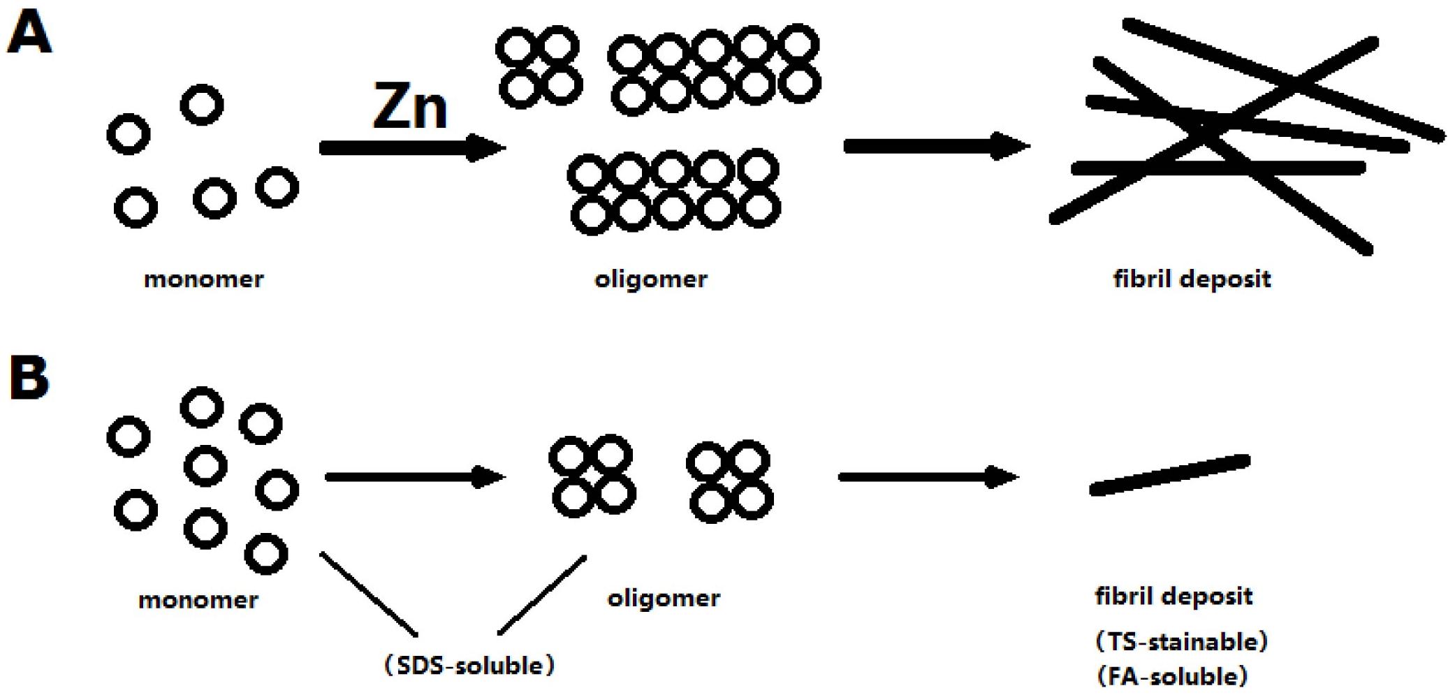 A model to explain zinc's effect on Aβ.