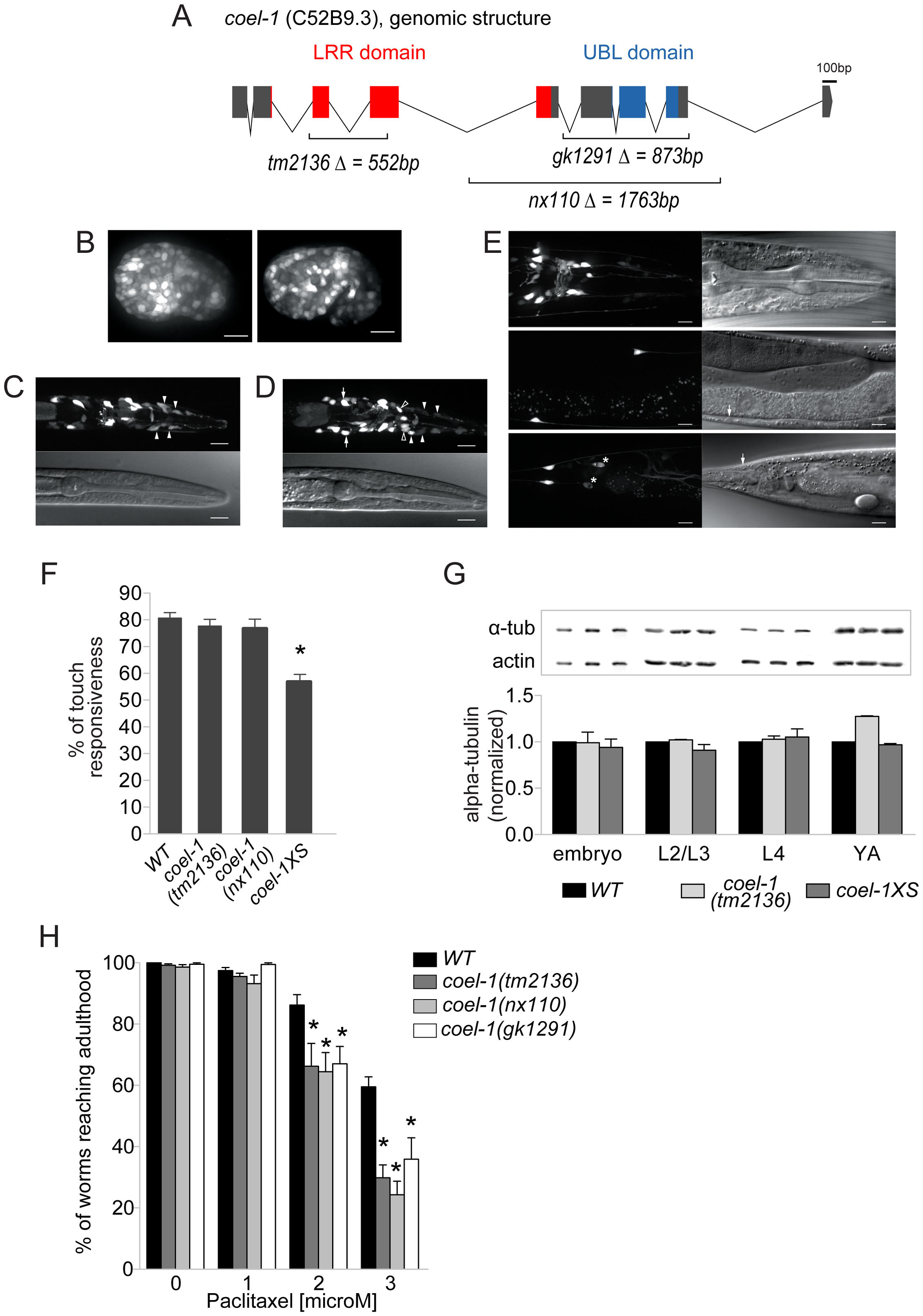 <i>coel-1</i> is expressed ubiquitously in embryos but largely confined to neurons in adults, and plays a role in microtubule stability and touch responsiveness.