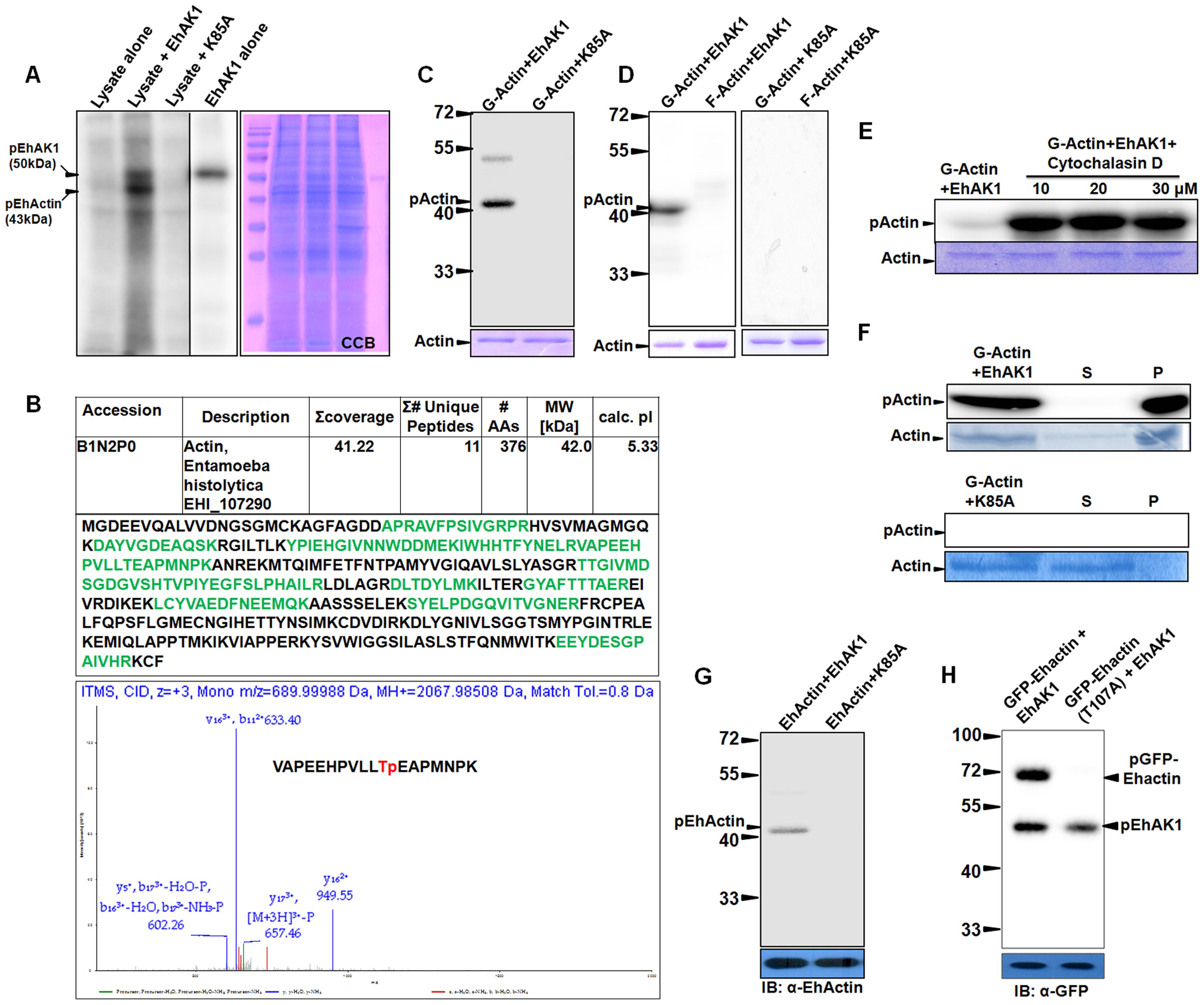 EhAK1 phosphorylates G-actin at threonine 107.