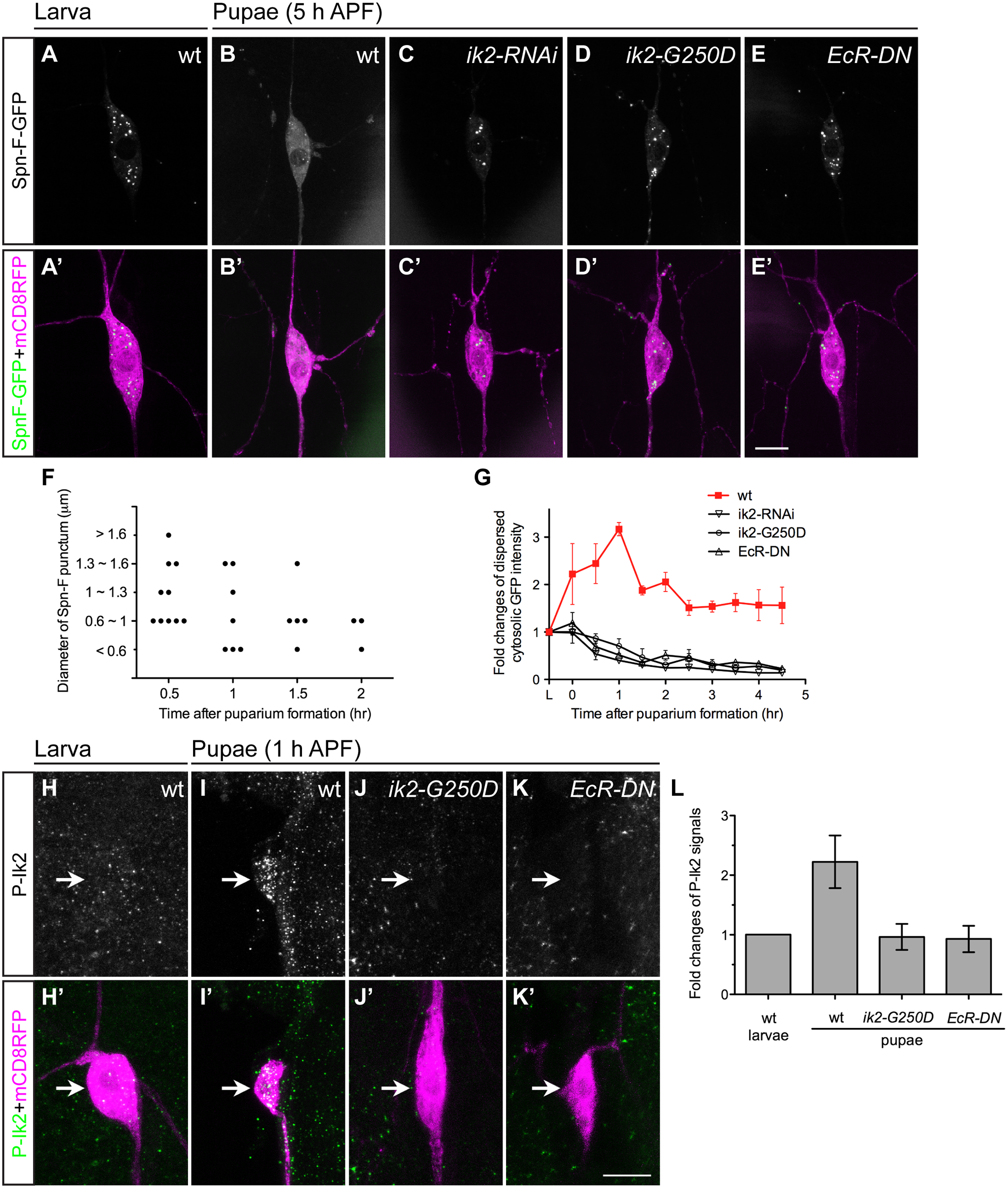 Ik2 kinase activity regulates the distribution of Spn-F in neurons.