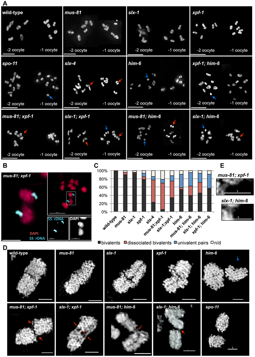 Evidence for DNA bridges linking homologous chromosomes in in <i>[mus-81; xpf-1], [slx-1; xpf-1], [mus-81; him-6]</i> and <i>[slx-1; him-6]</i> double mutants.