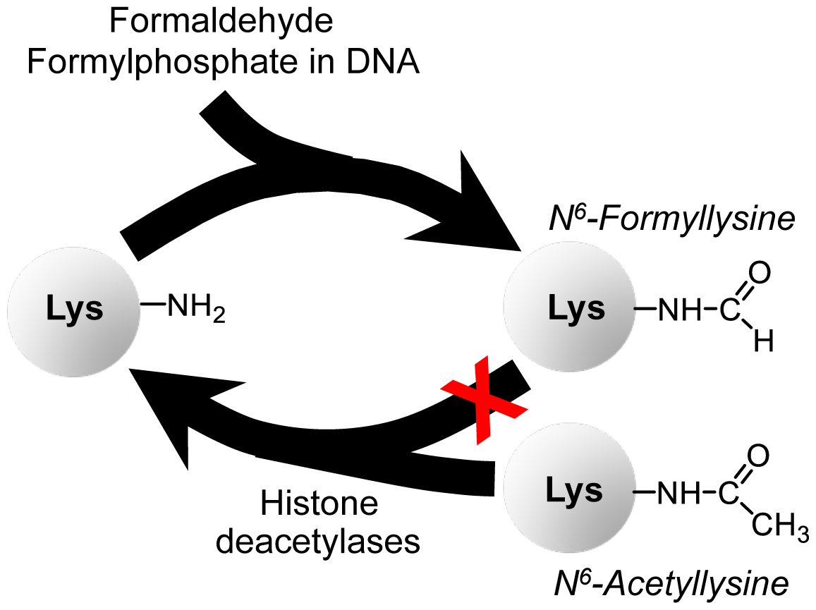 Summary of findings on N<sup>6</sup>-formyllysine in histones.