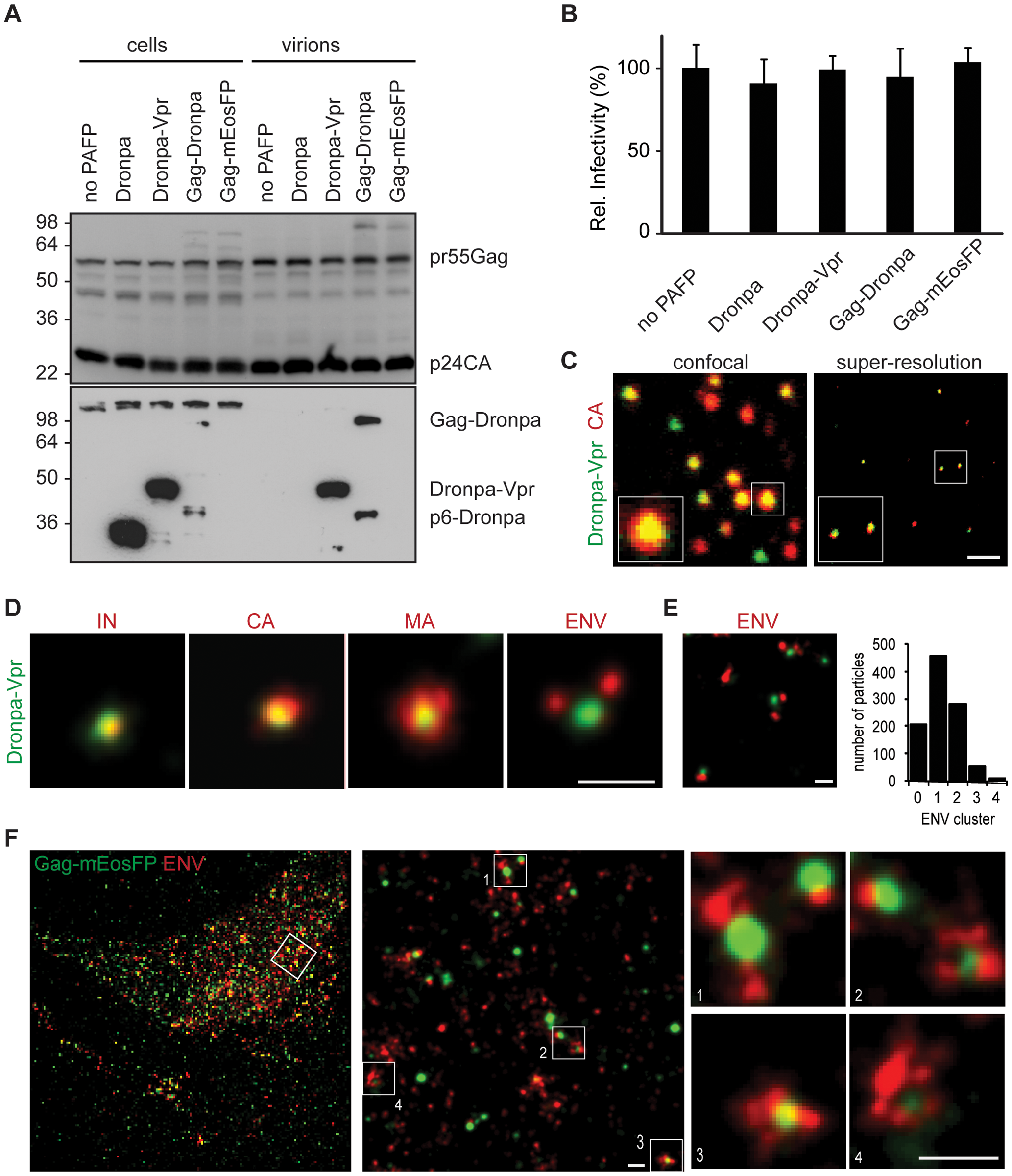 Structural features of single HIV-1 virions and assembly sites are revealed by multicolor super-resolution microscopy.