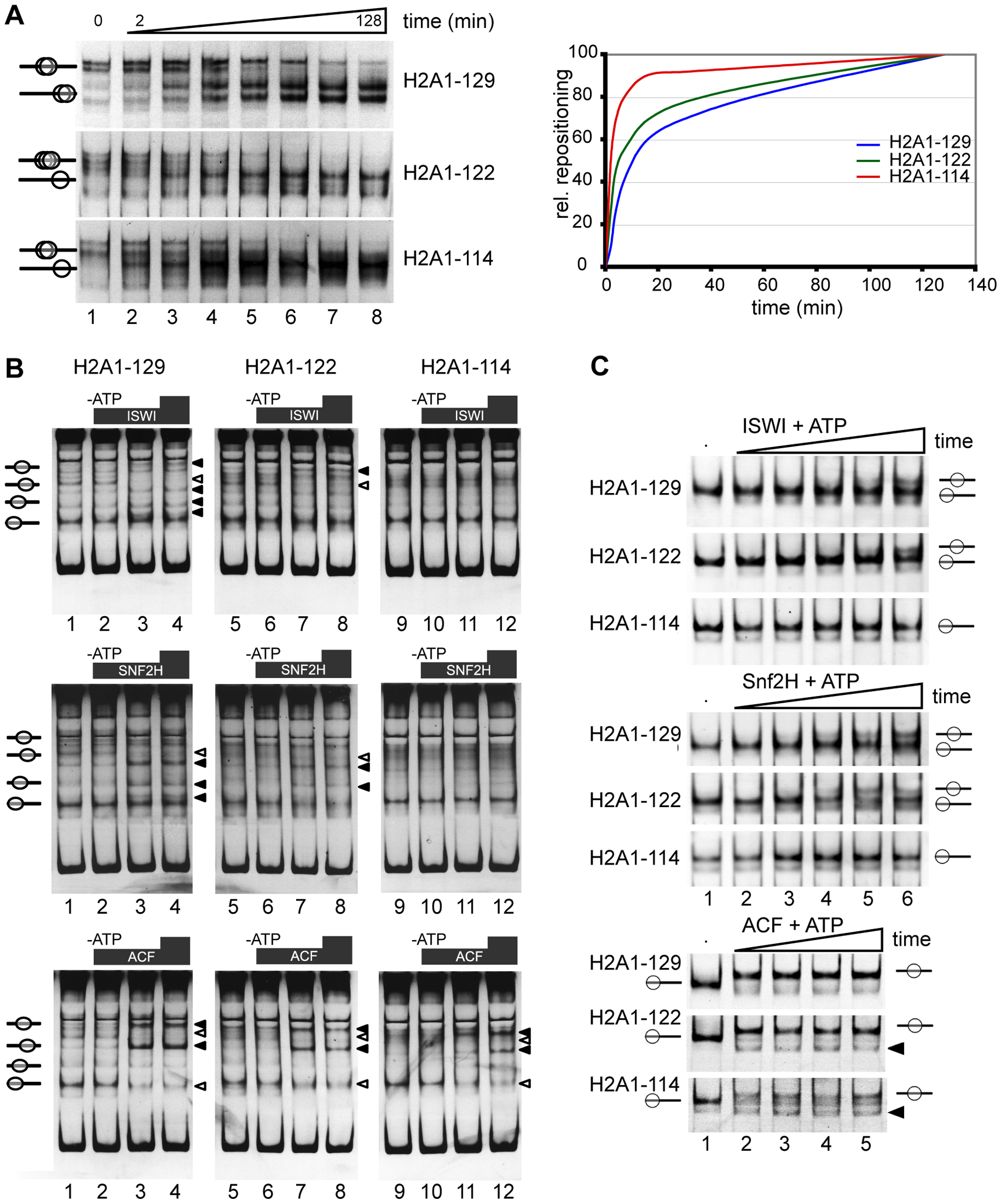 The H2A C-terminal tail is important for nucleosome stability and chromatin remodeling in vitro.