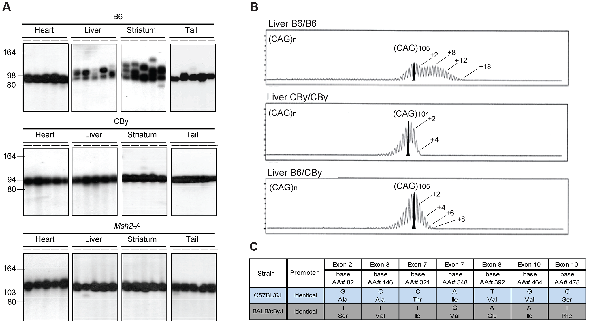 Representative CAG repeat distributions, and <i>Msh3</i> variations in B6 and CBy mice.
