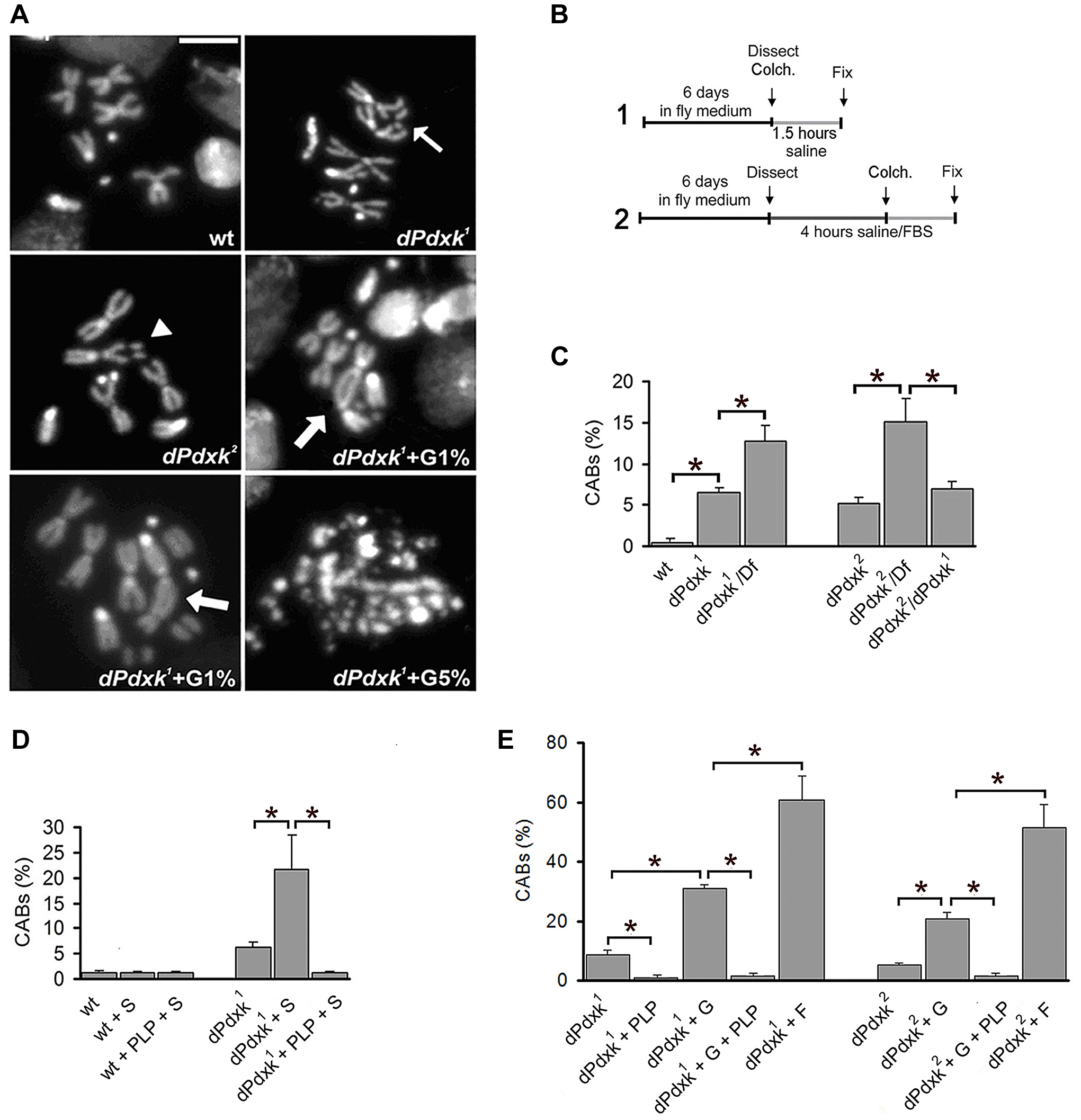 Clastogenic effects of sugar in PLP-deficient <i>Drosophila</i> brain cells.