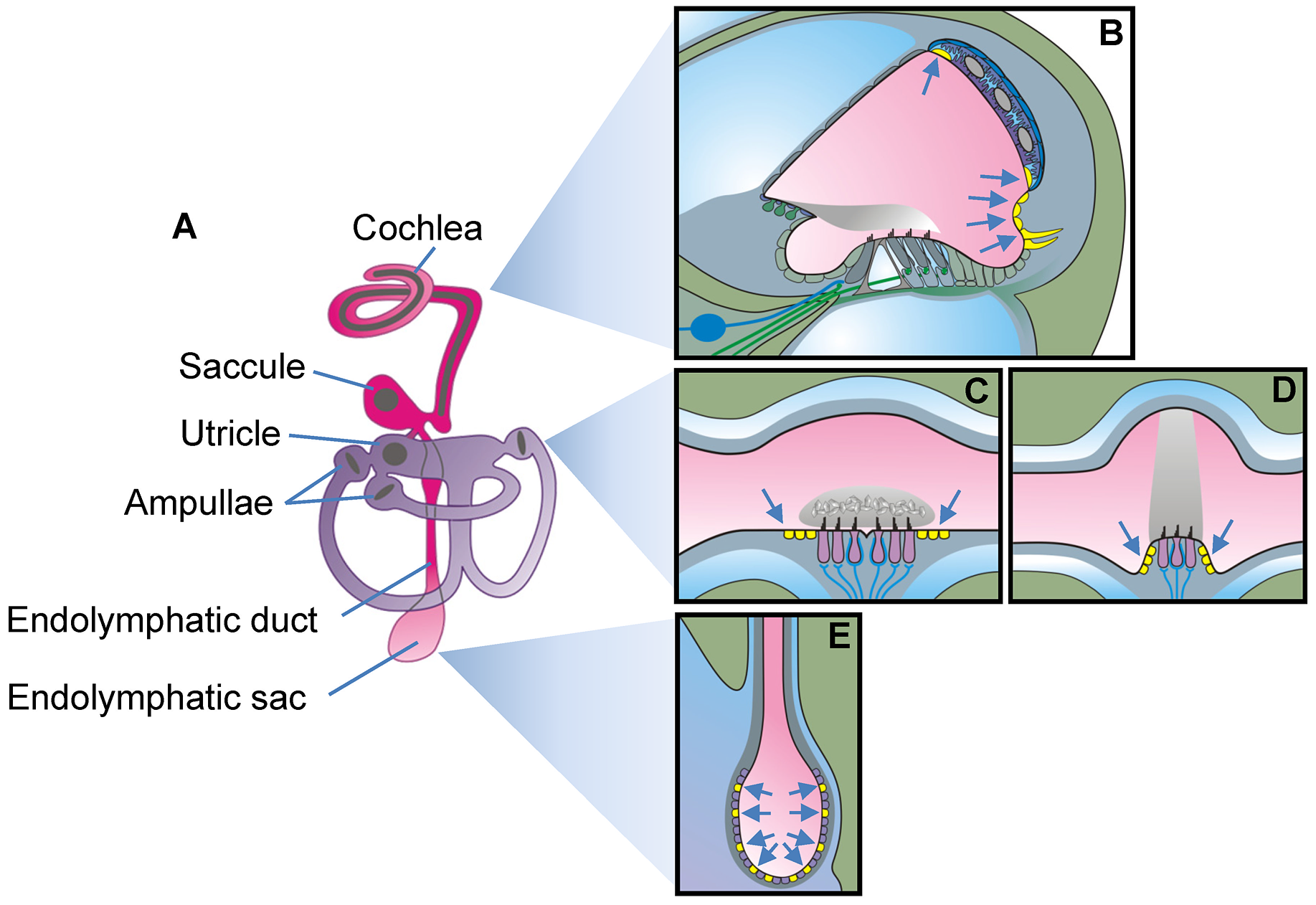 Schematic diagram of the inner ear.