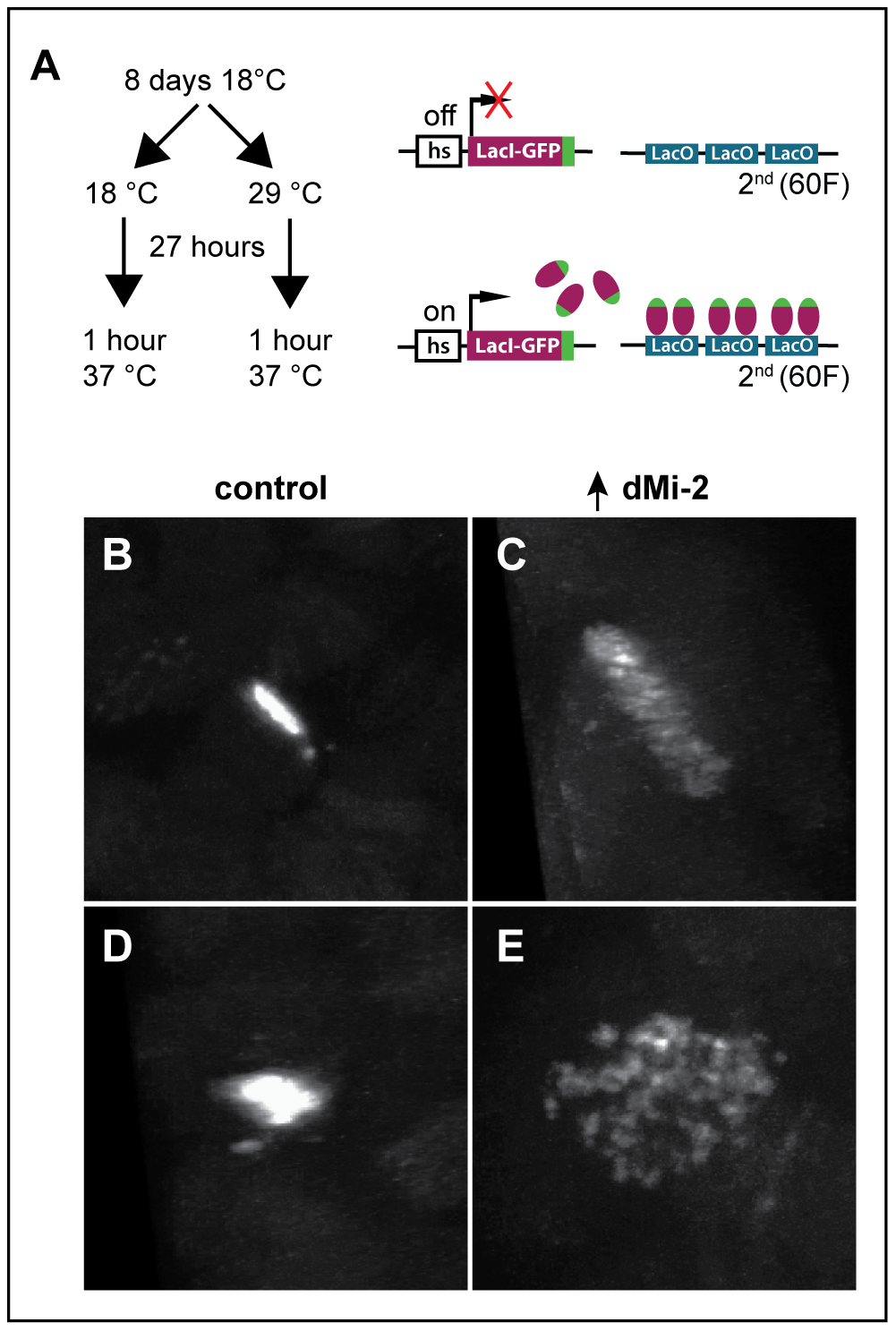 dMi-2 regulates chromosome cohesion in the larval salivary gland.