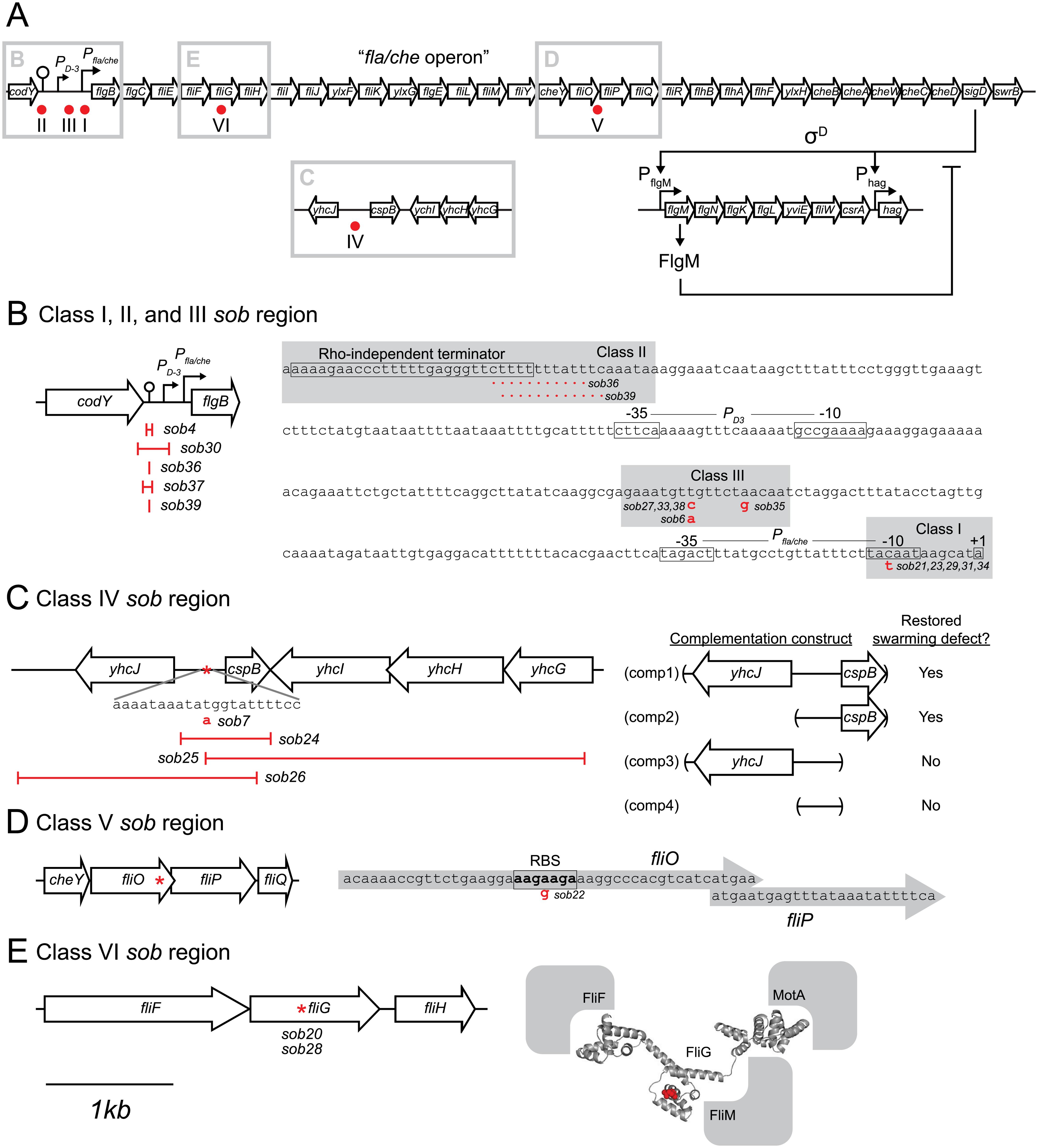 Genetic maps indicating the location of the <i>sob</i> suppressors.