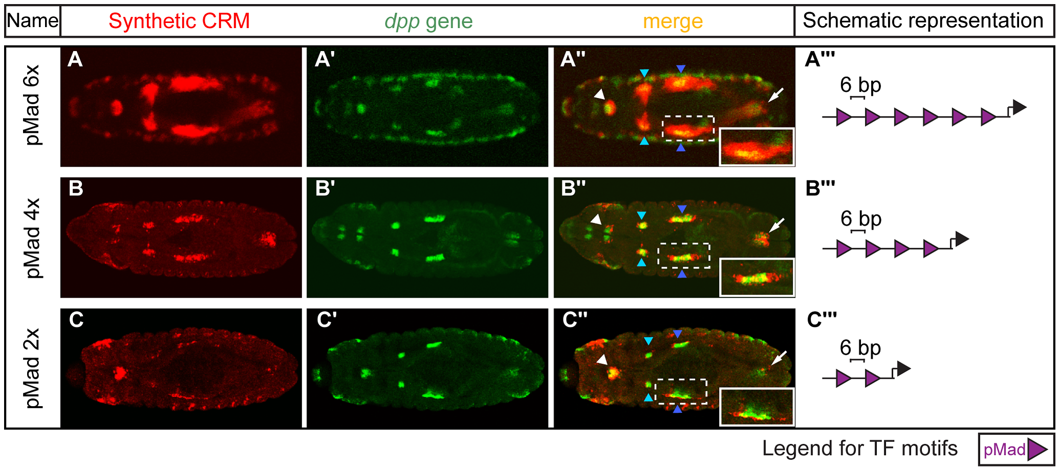Altering the number of pMad motifs affects visceral mesoderm activity.