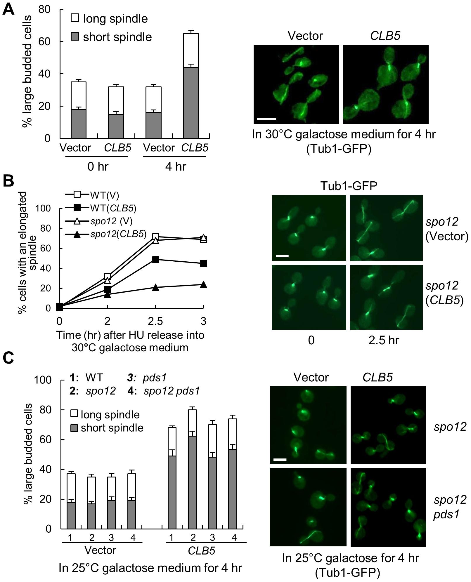 S-phase CDK negatively regulates spindle elongation.