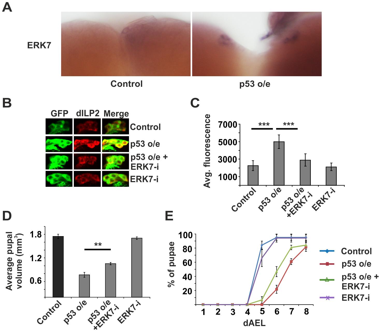 ERK7 acts downstream of p53.
