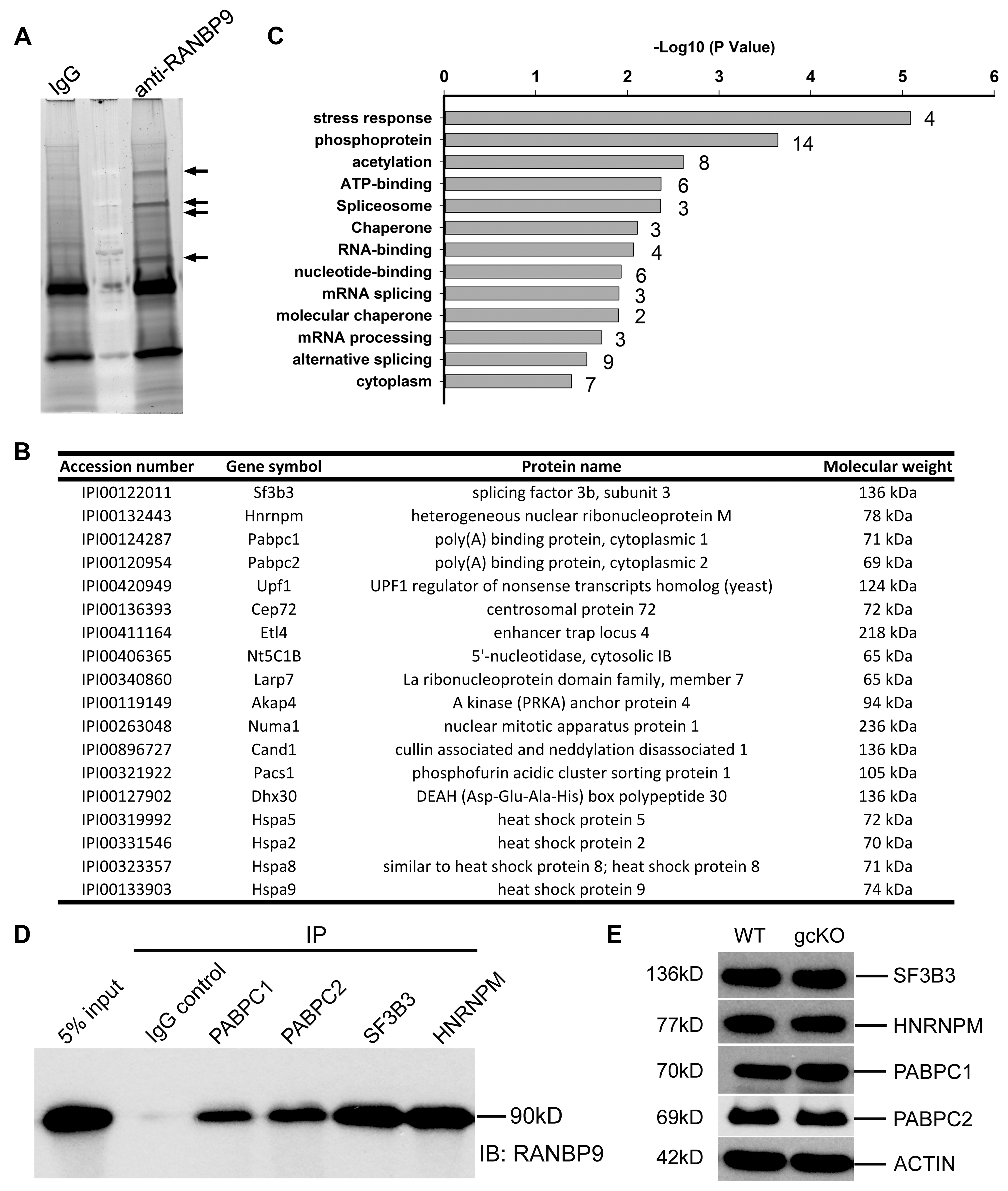 Identification of RANBP9-interacting partners in murine testes using immunoprecipitation followed by mass spectrometry (IP-MS).