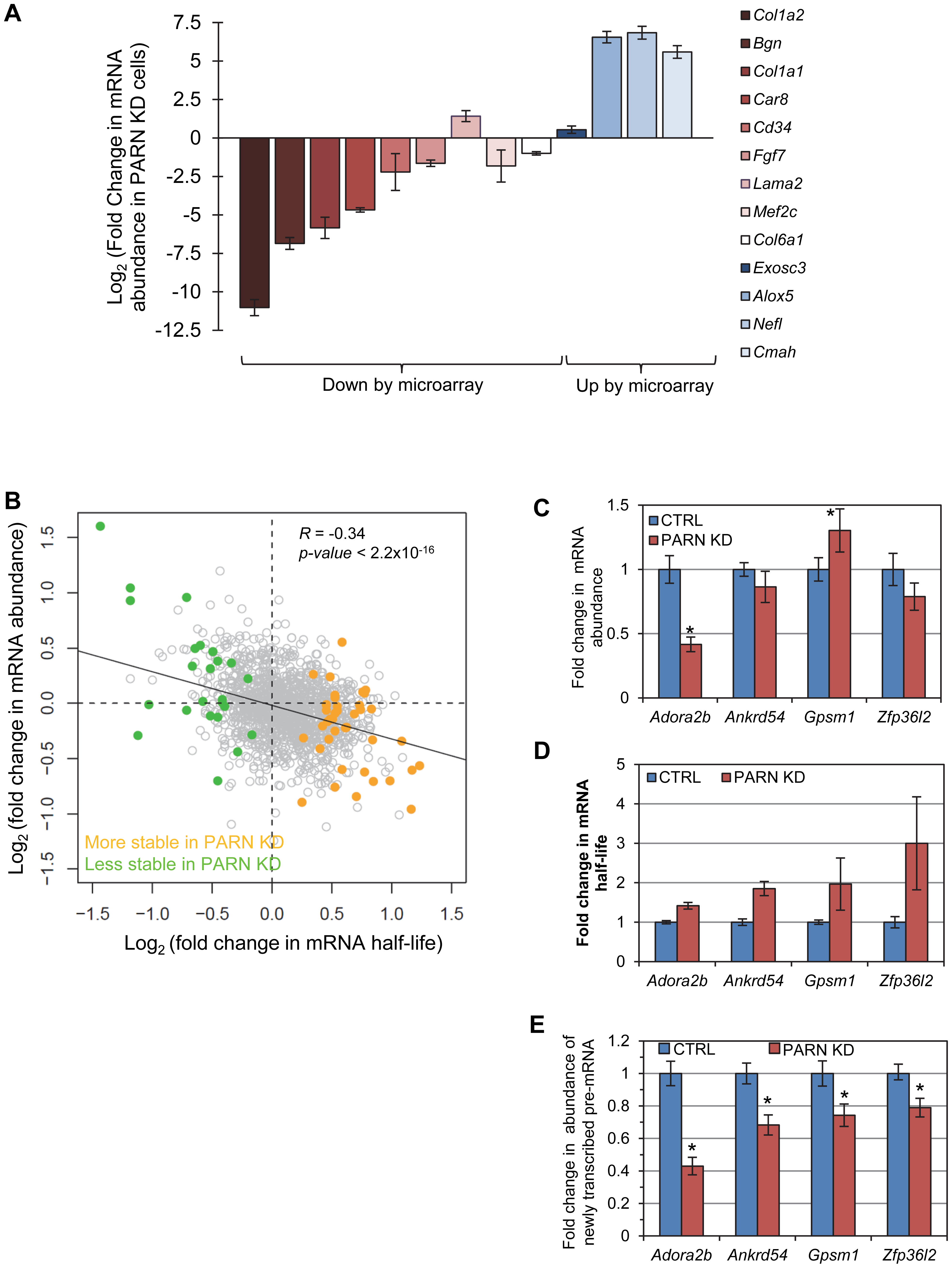 mRNA stabilization is not correlated with increases in mRNA abundance.