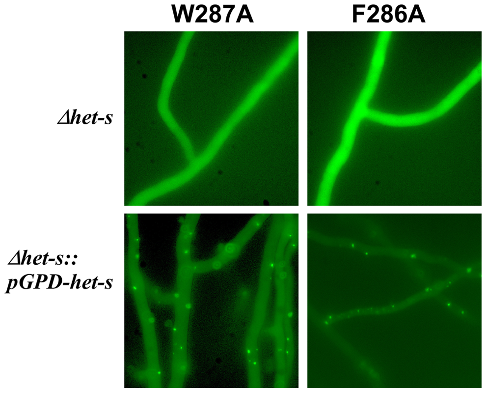 Expression of a HET-s-GFP F286A and W287A fusion proteins in <i>P. anserine</i>.
