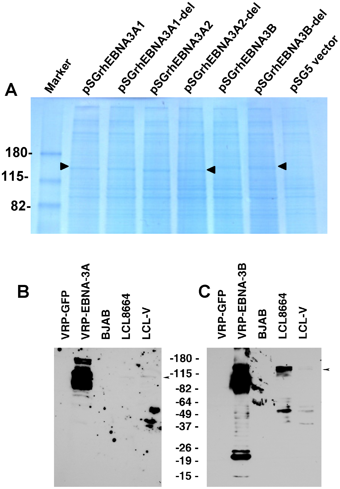 Expression of EBNA-3A and EBNA-3B in transfected and latently infected cells.