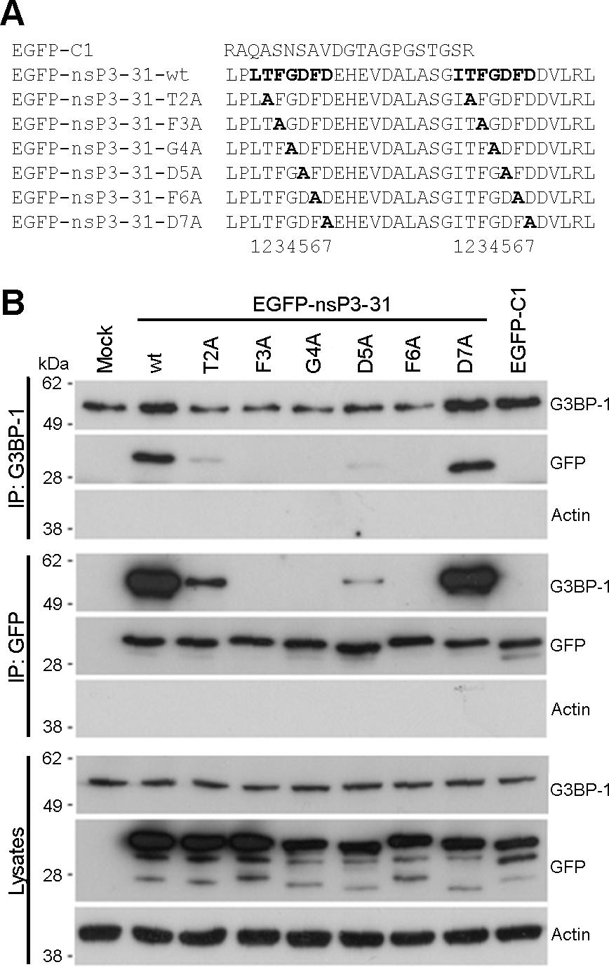 Mutagenesis of the G3BP-binding domain in SFV-nsP3 reveals a core binding motif of FGDF.