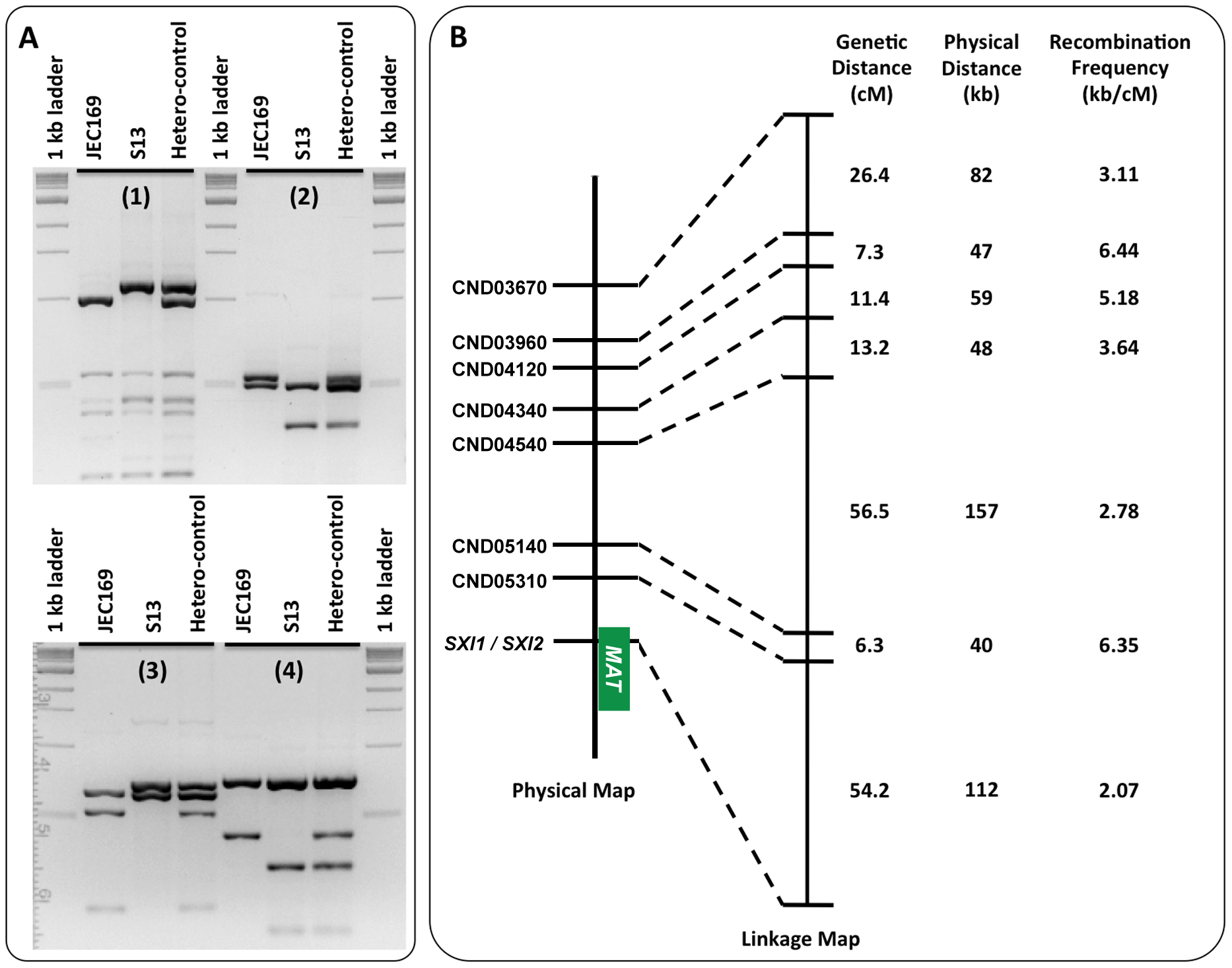 Meiotic recombination frequencies in chromosomal regions proximal to the <i>MAT</i> locus.