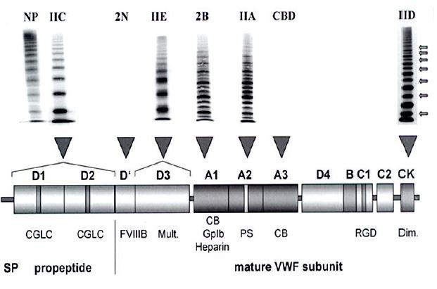 I STH klasifikace typu 2A VWCH a jeho subtypy Znázorněna je struktura multimerů VWF a lokalizace mutací v jednotlivých doménách VWF, upraveno podle [17] s laskavým svolením autora.